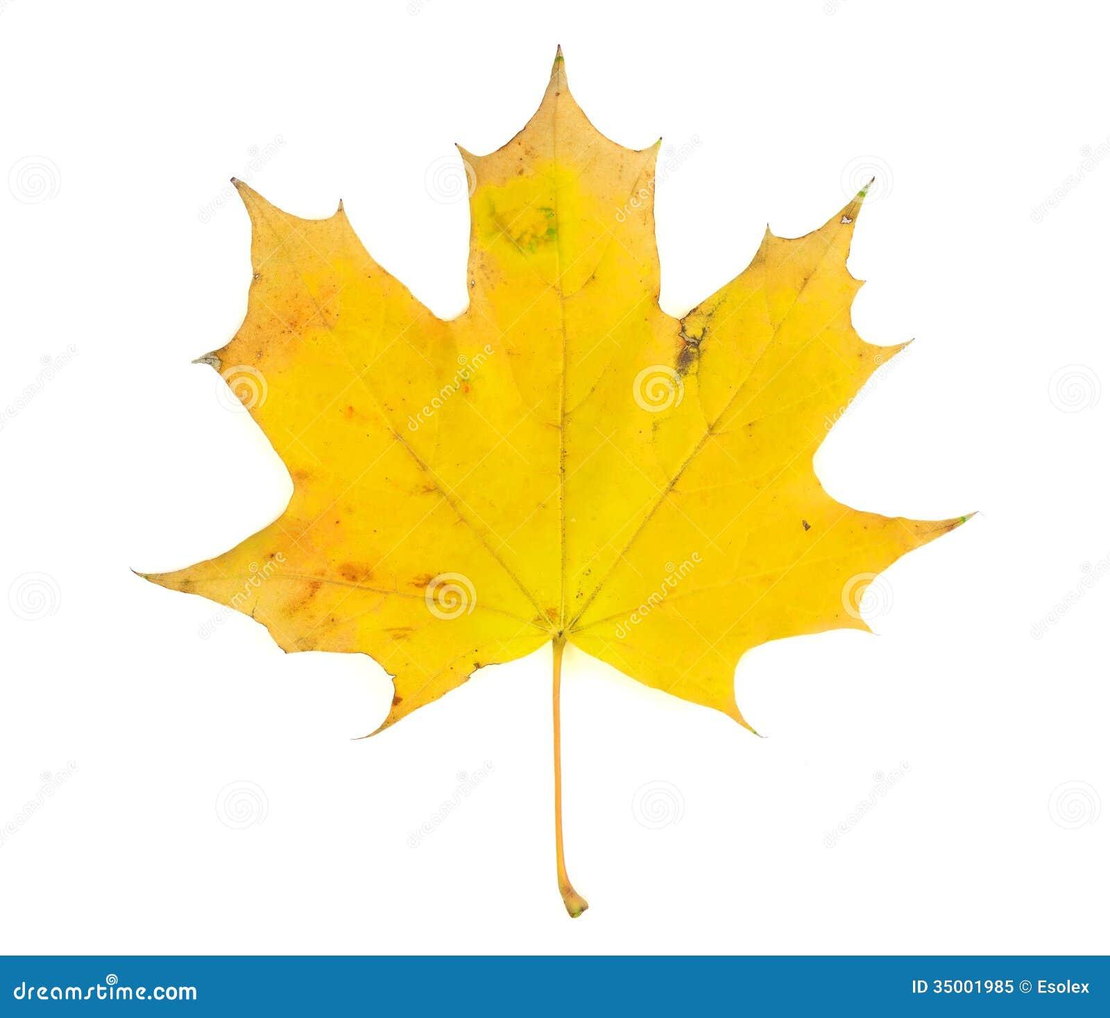 Yellow Maple Leaf Stock Image Image Of Aging Background
