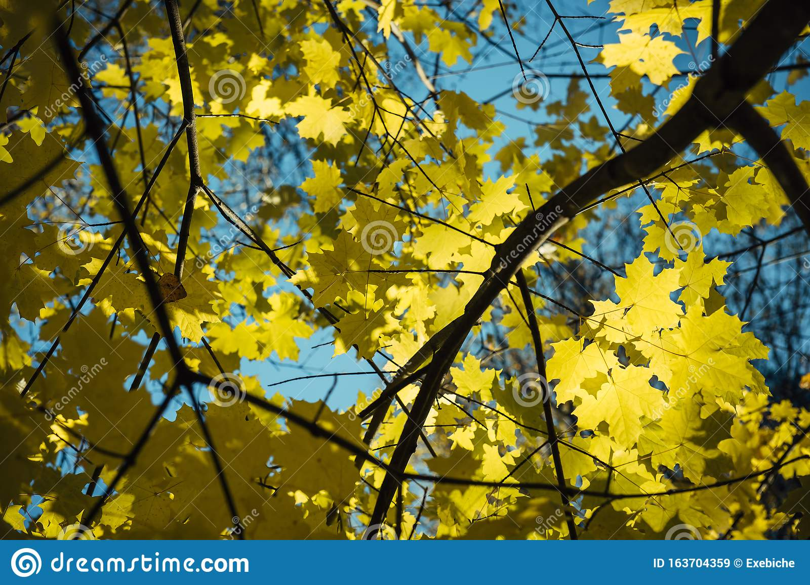 Yellow Maple Leaves On Background Of Blue Sky Warm Autumn