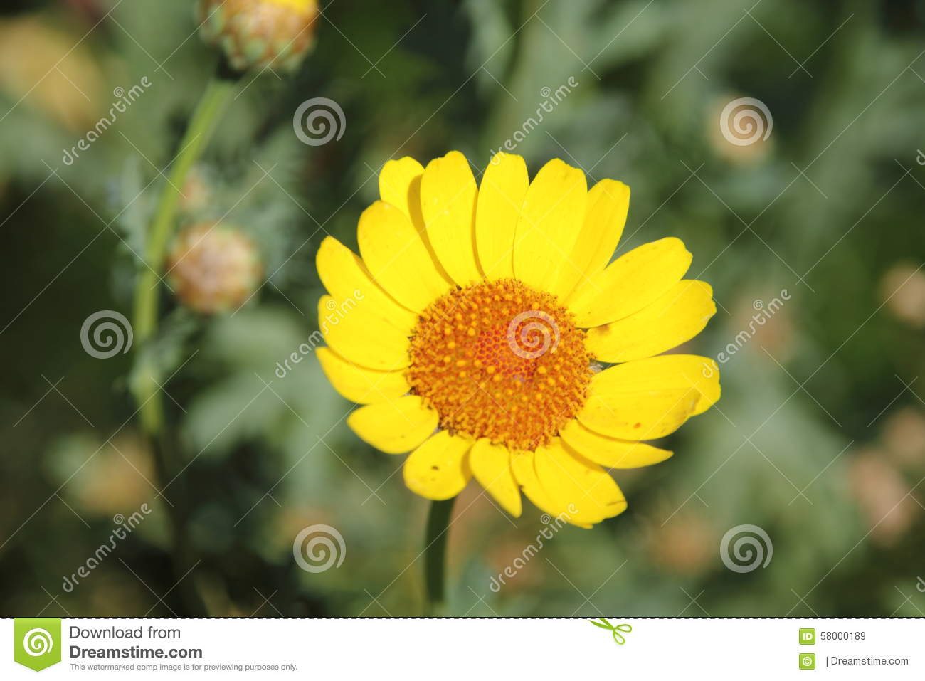 Yellow marguerite daisy flower stock image image of seeds yellow marguerite daisy flower izmirmasajfo