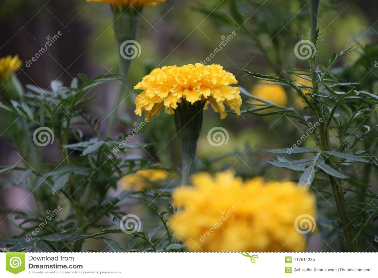 Yellow marigold blossom on the green tree it is a plant of the yellow marigold blossom on the green tree it is a plant of the daisy family izmirmasajfo