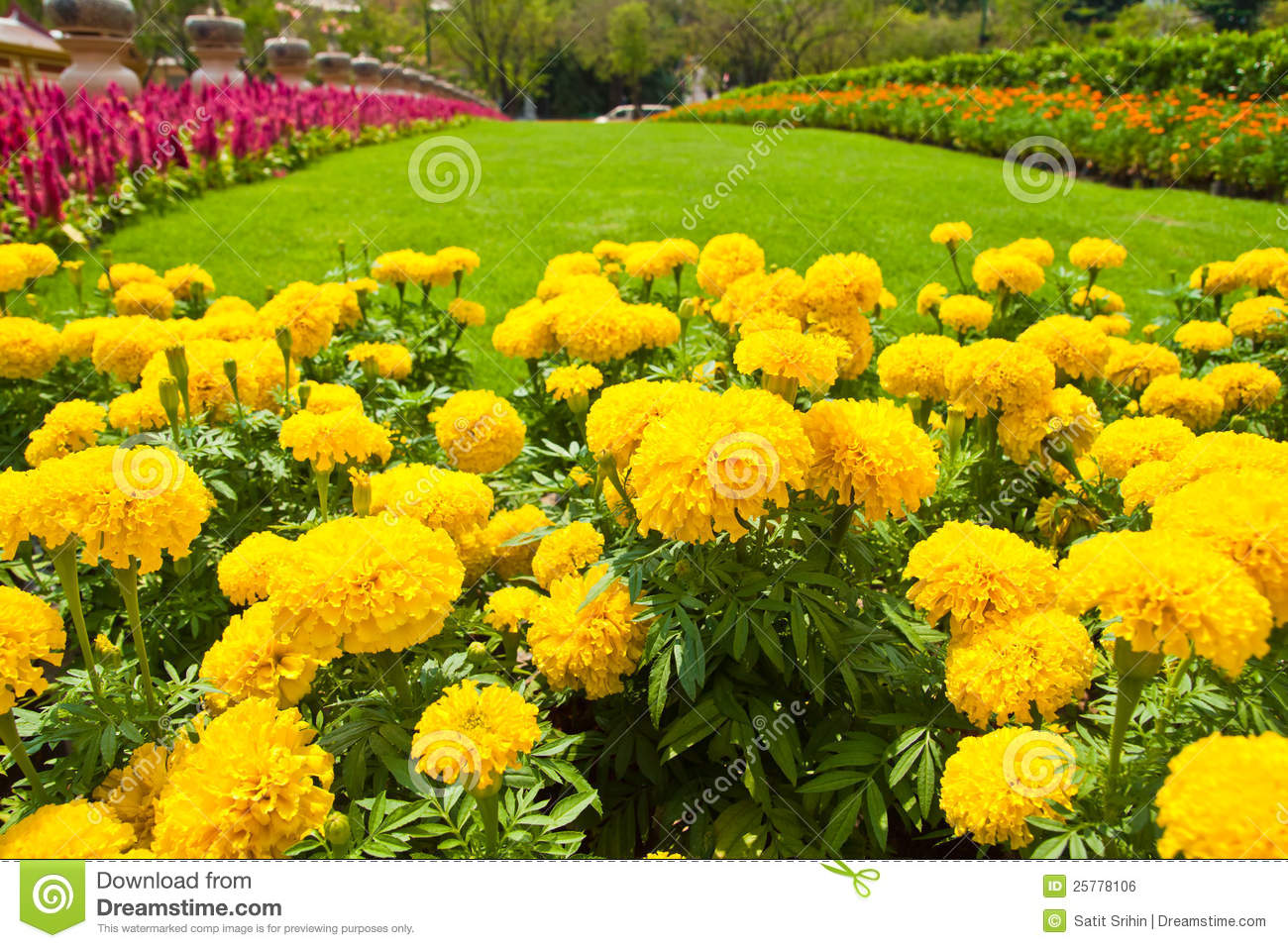 Yellow Marigold And Colorful Flower Royalty Free Stock ...