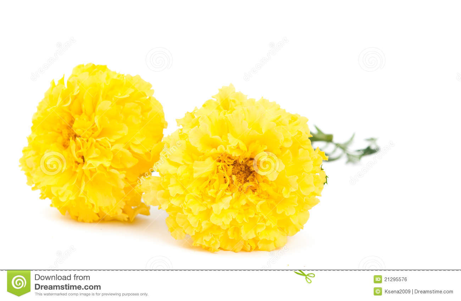 Yellow marigold flower stock photo image of decorative 21295576 yellow marigold flower mightylinksfo