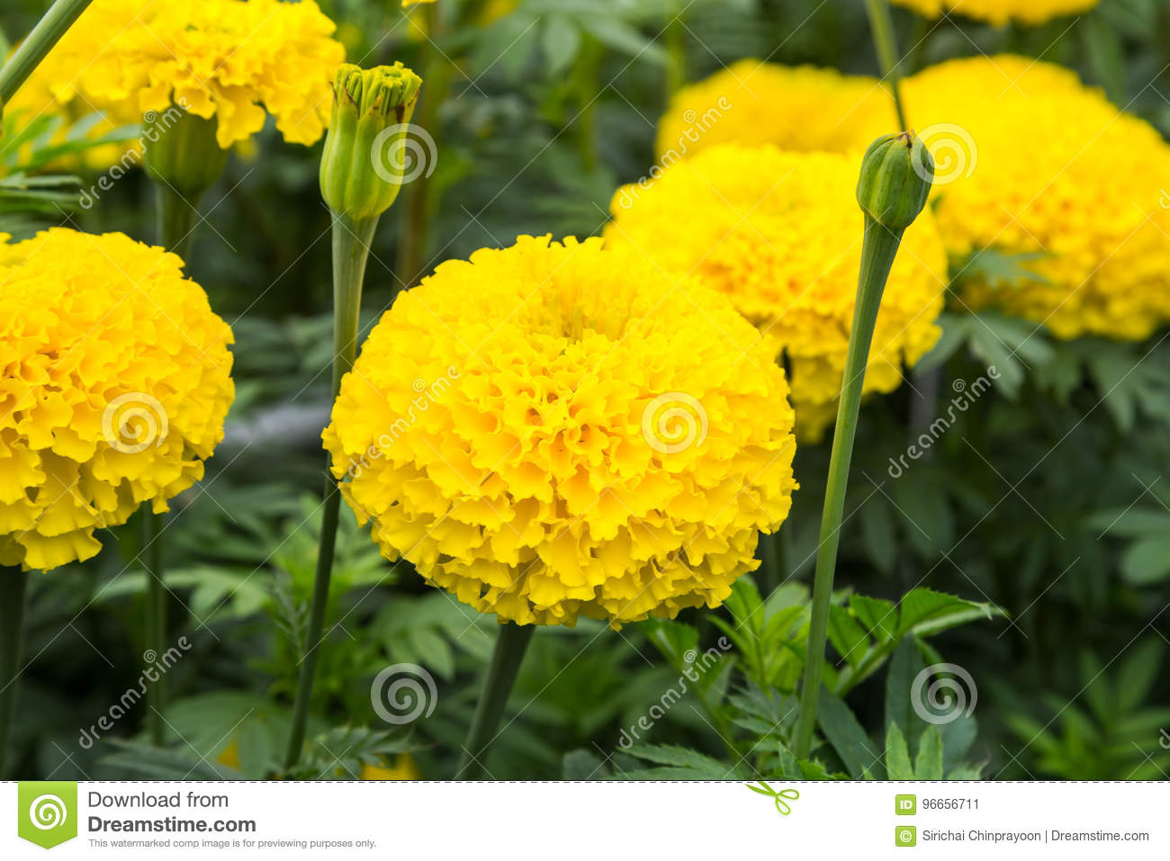 Yellow Marigold Flower In Field Stock Image Image Of Colorful
