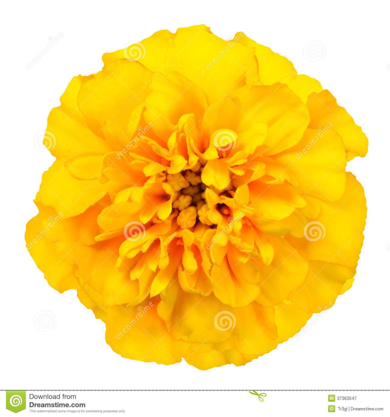 Yellow marigold flower isolated on white background stock image download yellow marigold flower isolated on white background stock image image of single marigold mightylinksfo