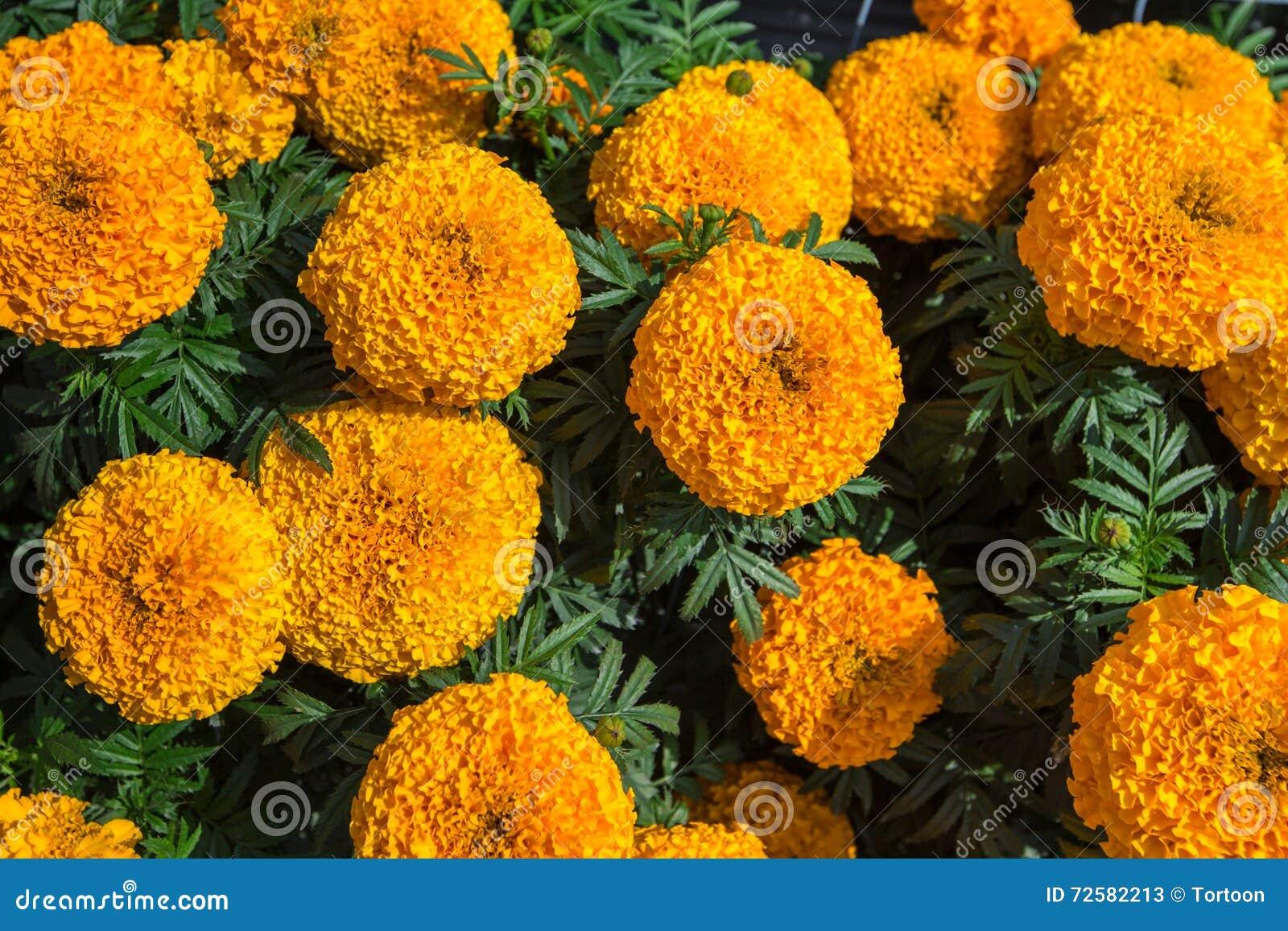 Yellow marigold flower plant stock image image of natural beauty yellow marigold flower plant mightylinksfo