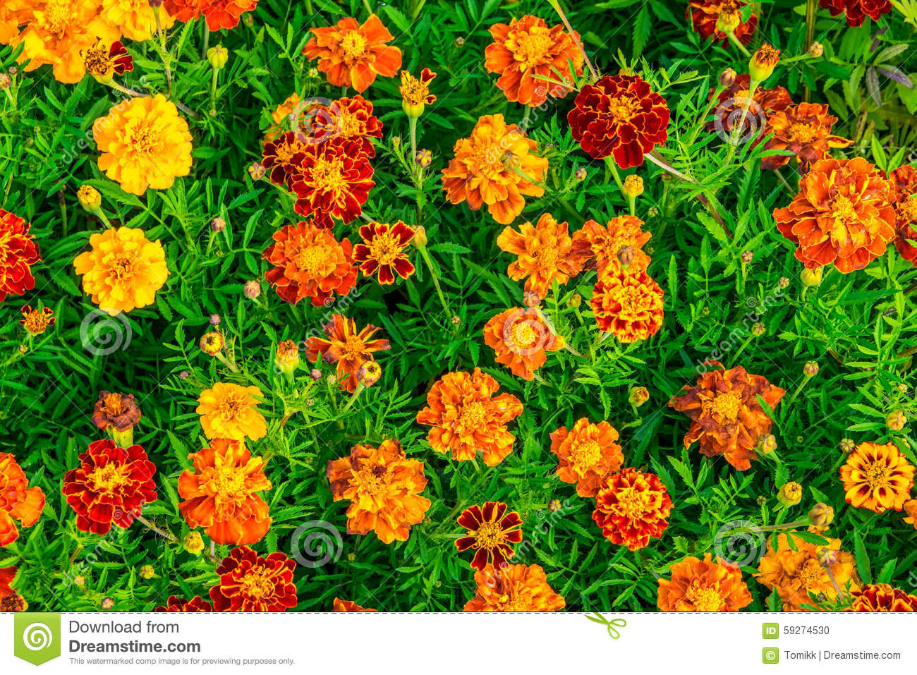 Yellow Marigold Flowers Background Marigold Flowers Field Stock