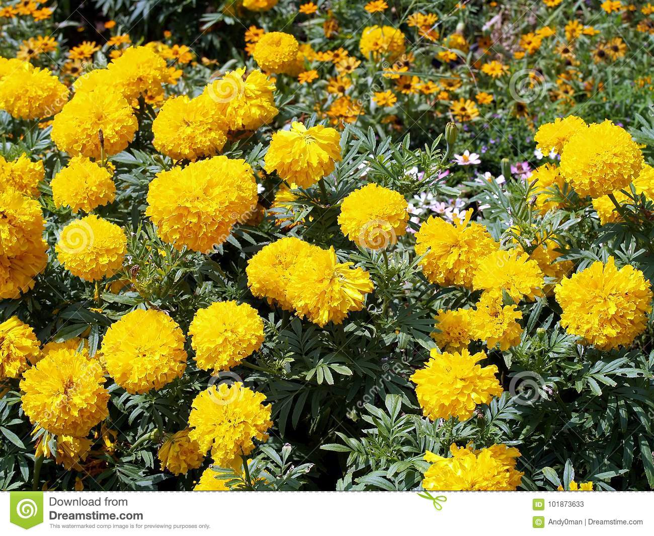 Yellow Marigold Flowers Blooming In Garden Plant Of Daisy Family