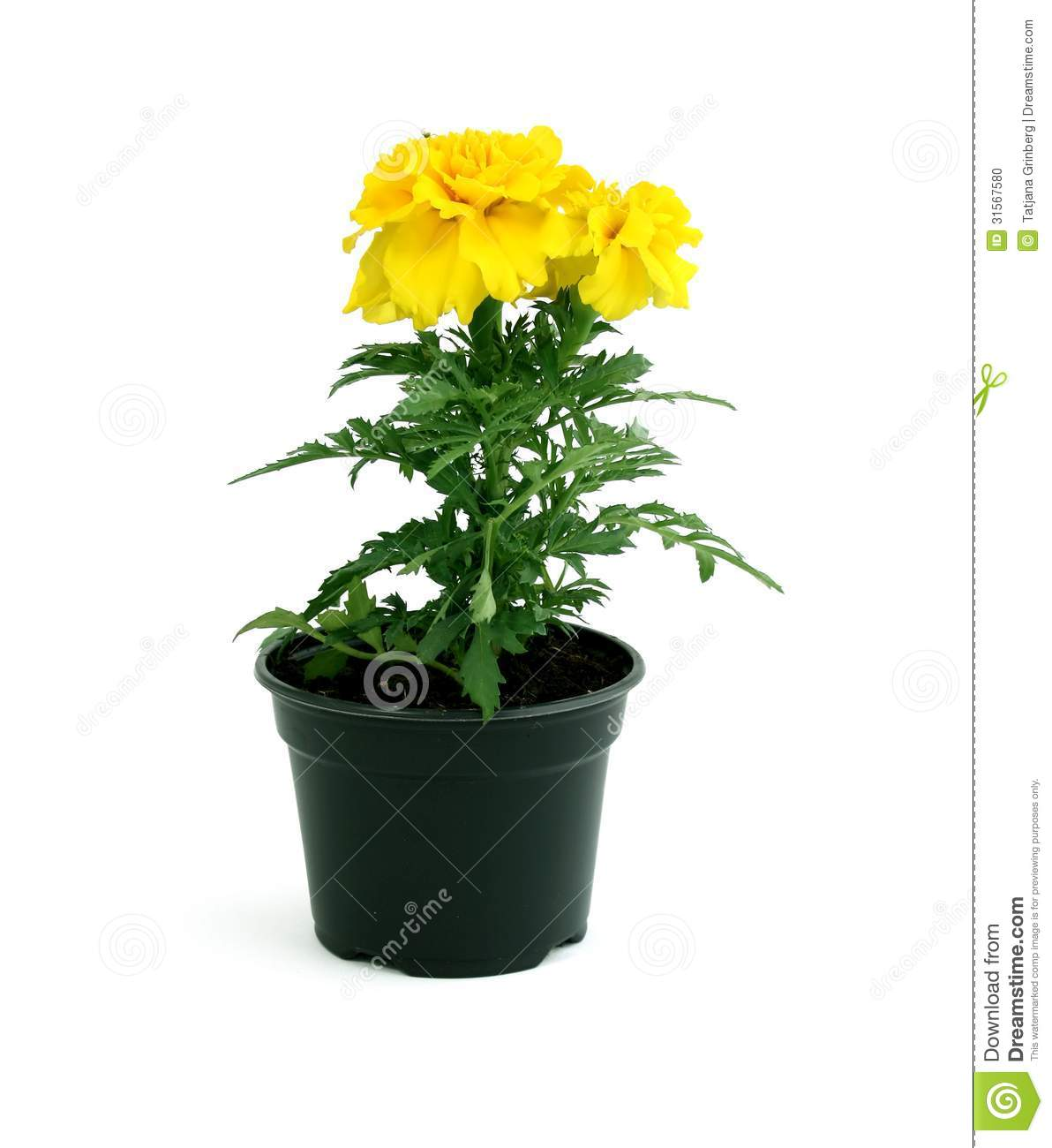 Yellow Marigold Flowers In Pot Isolated On White Stock