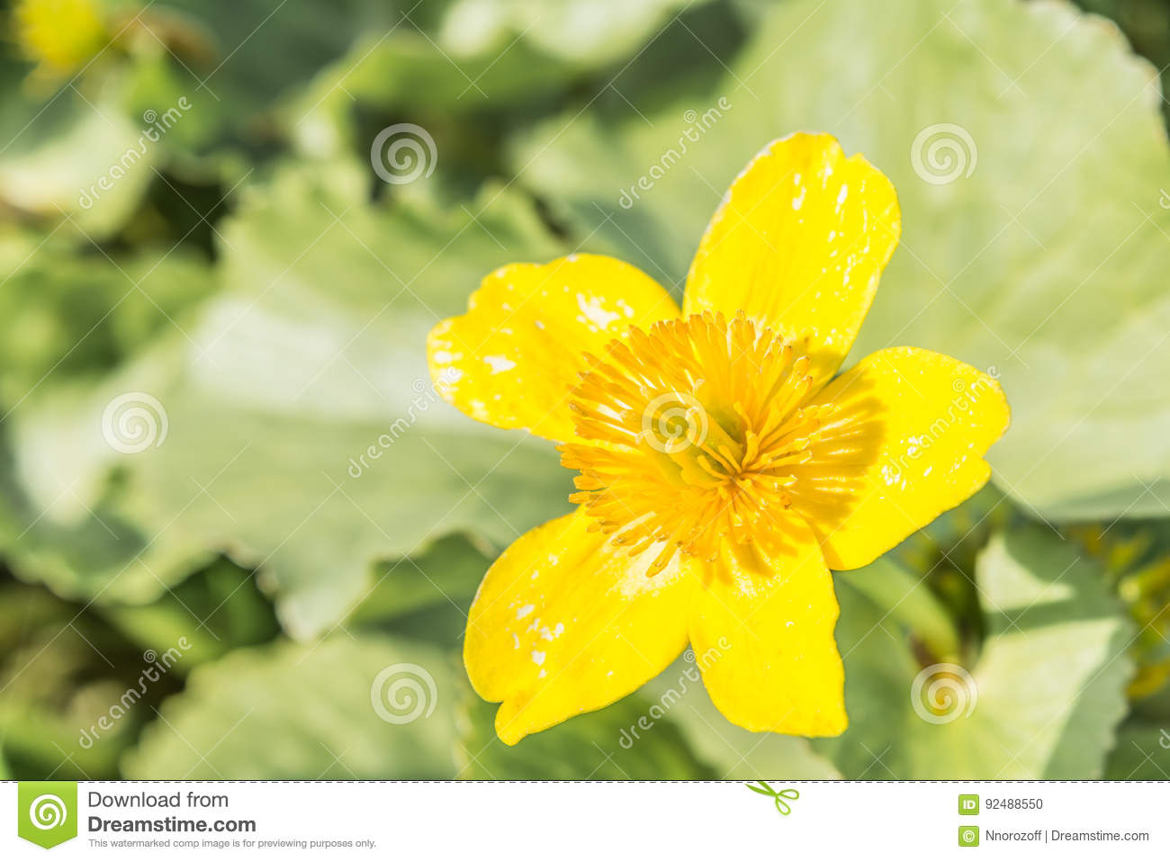 Yellow Meadow Flower With Five Petals On A Background Of Vegetation