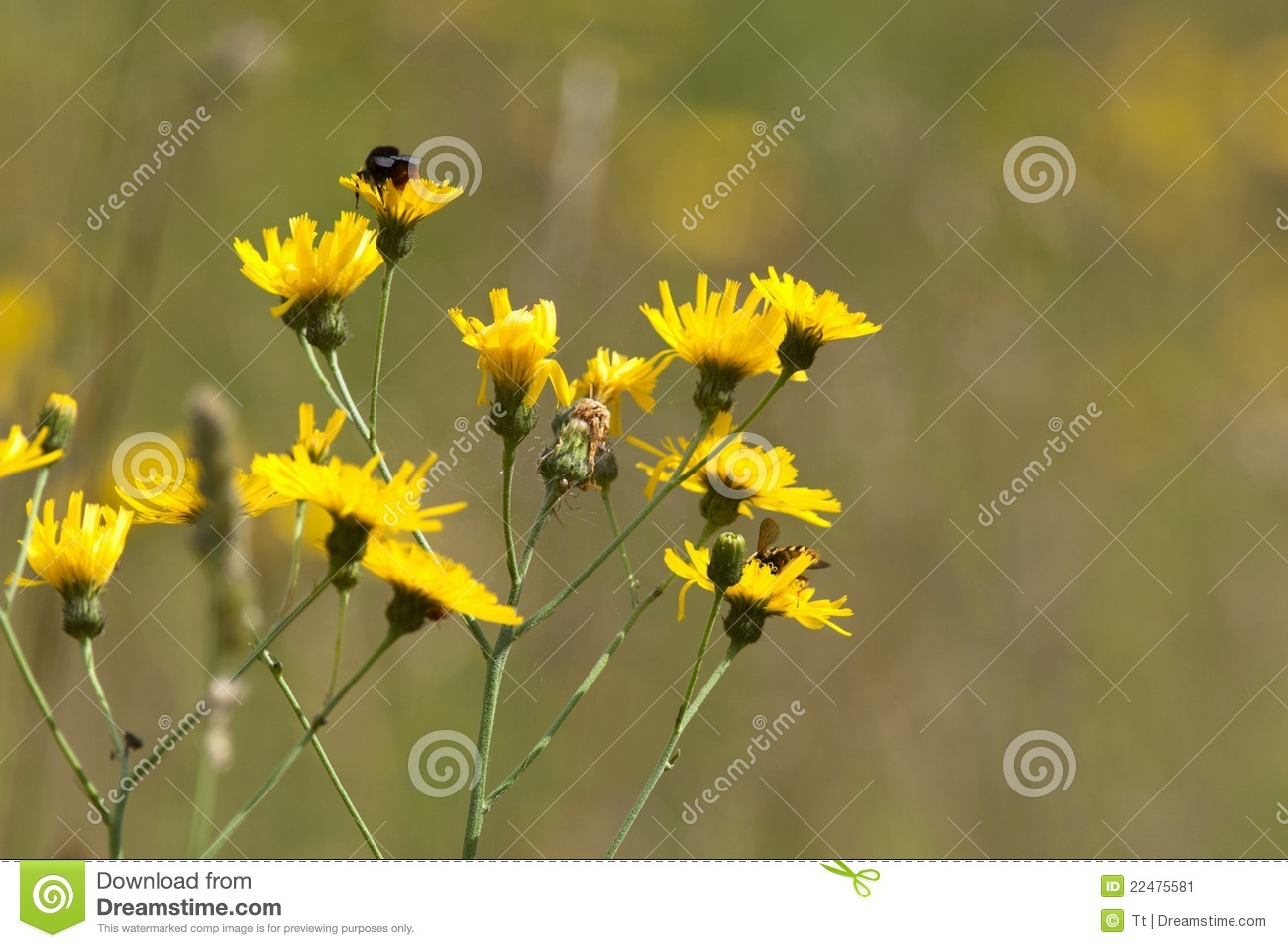 Yellow Meadow Flowers Stock Image Image Of Flowers Pasture 22475581