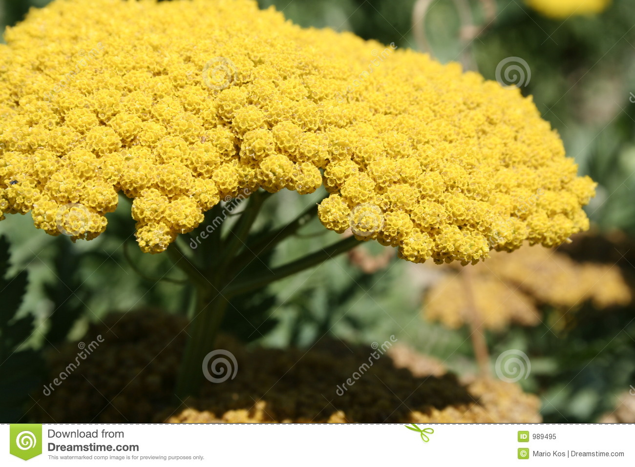 Yellow Mimosa Flower In Bloom Stock Image Image Of Herbaceous