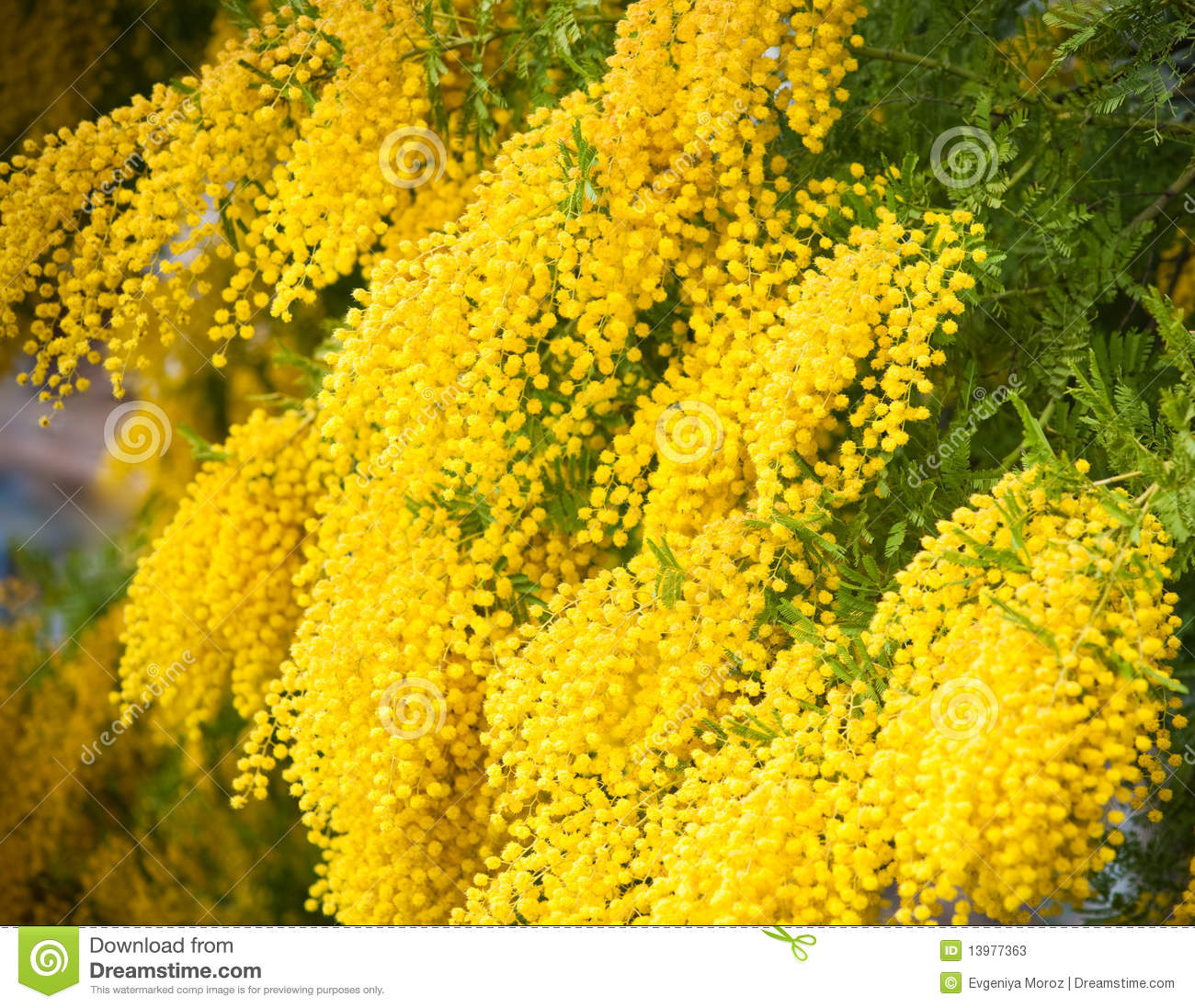 Yellow Mimosa Flowers Stock Image Image Of Tender Redolent 13977363