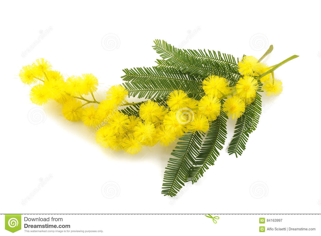 Yellow Mimosa Flowers Stock Image Image Of Sprig Blue 84163997