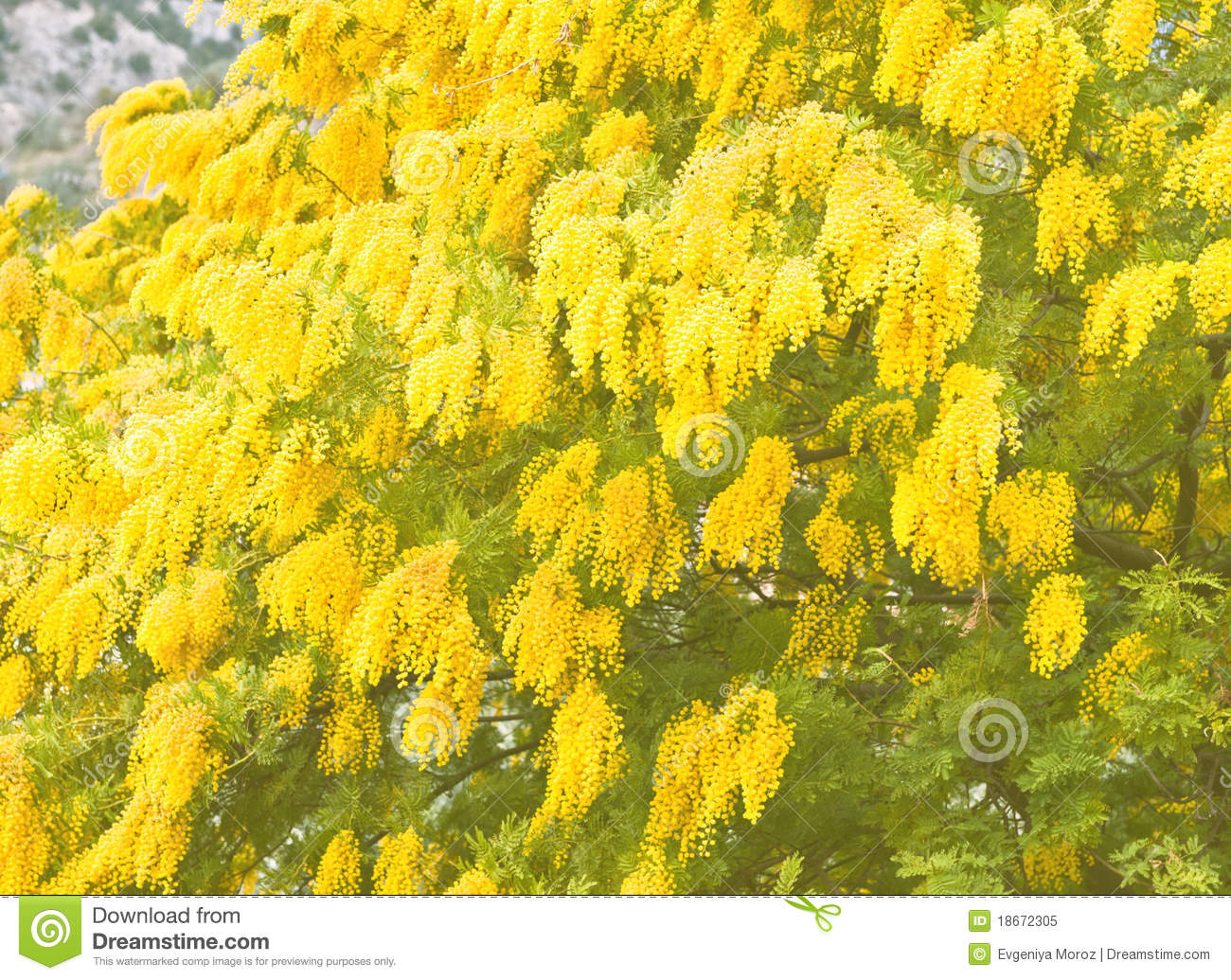 Yellow mimosa flowers in soft focus stock image image of floral yellow mimosa flowers in soft focus mightylinksfo