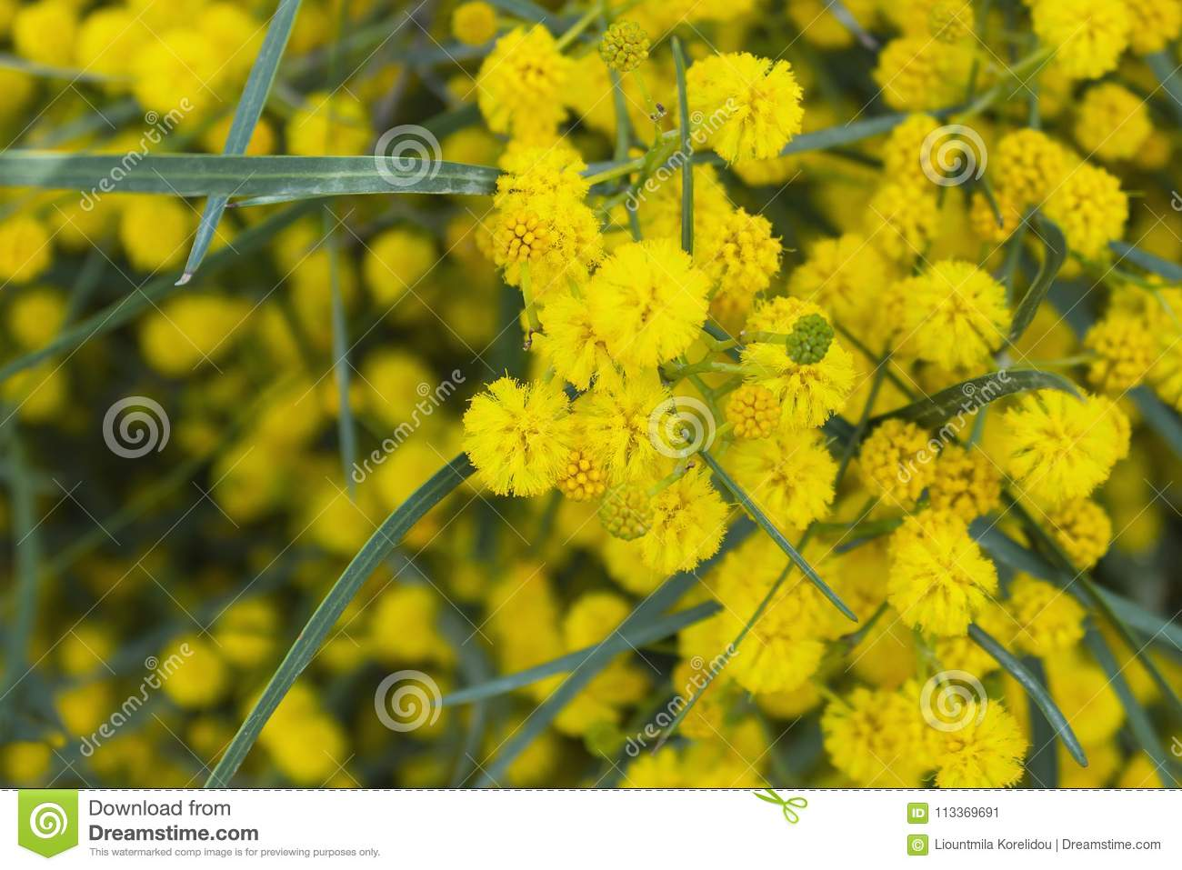 Yellow Mimosa Flowers On Tree Branches Spring Background Selec