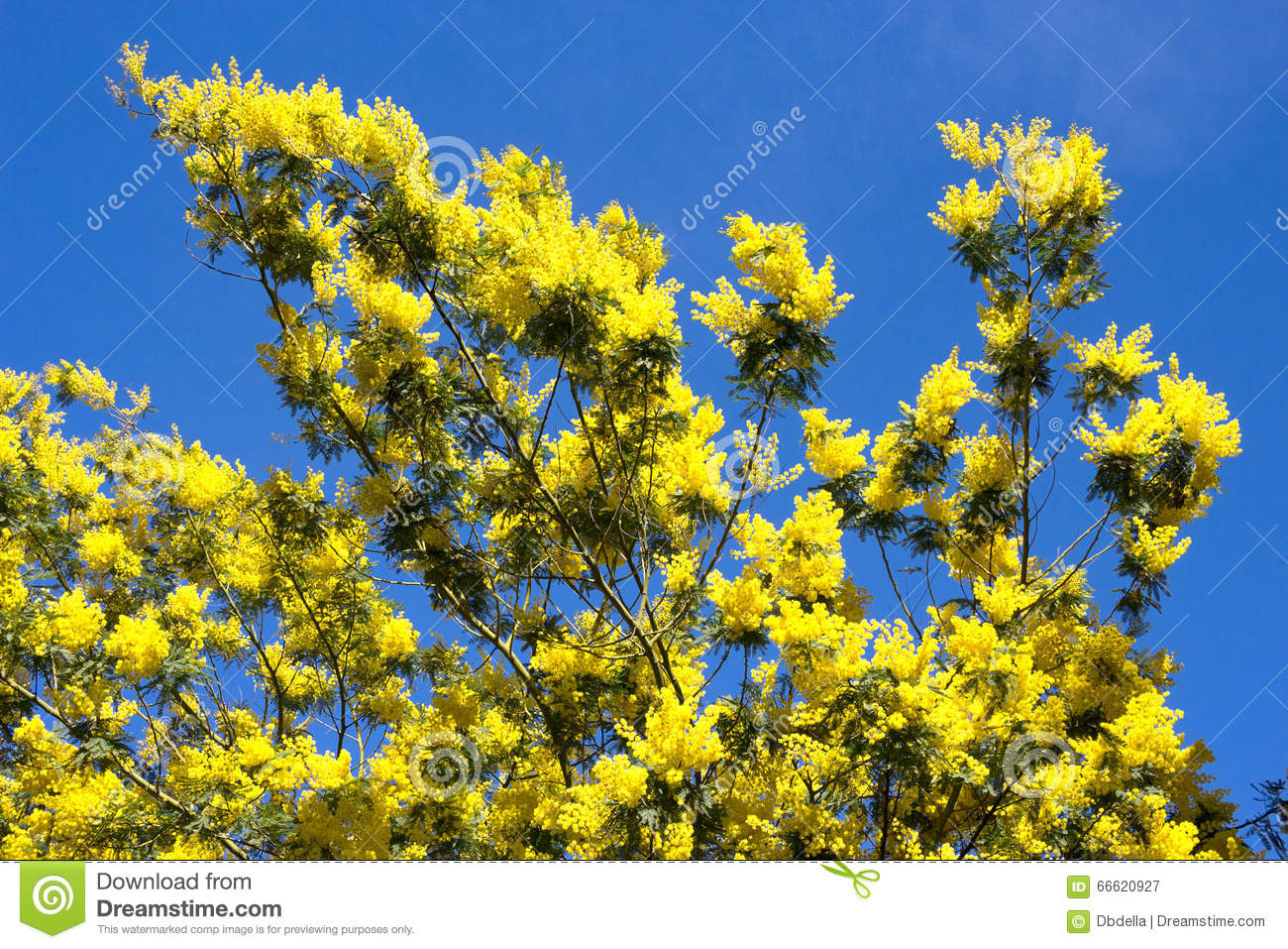 yellow mimosa tree in flower acacia dealbata liguria italy stock image image of blossom. Black Bedroom Furniture Sets. Home Design Ideas