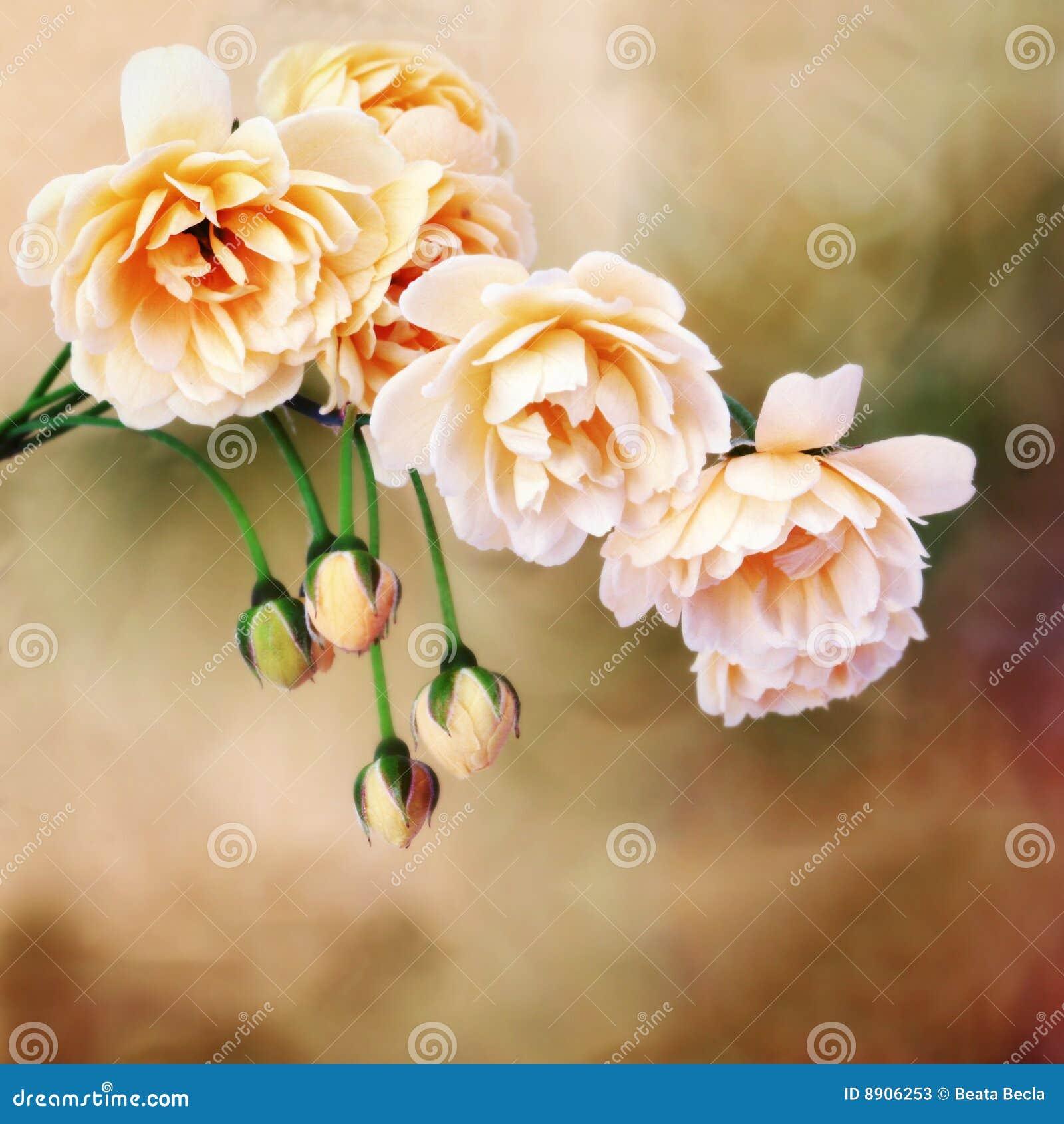Yellow miniature roses