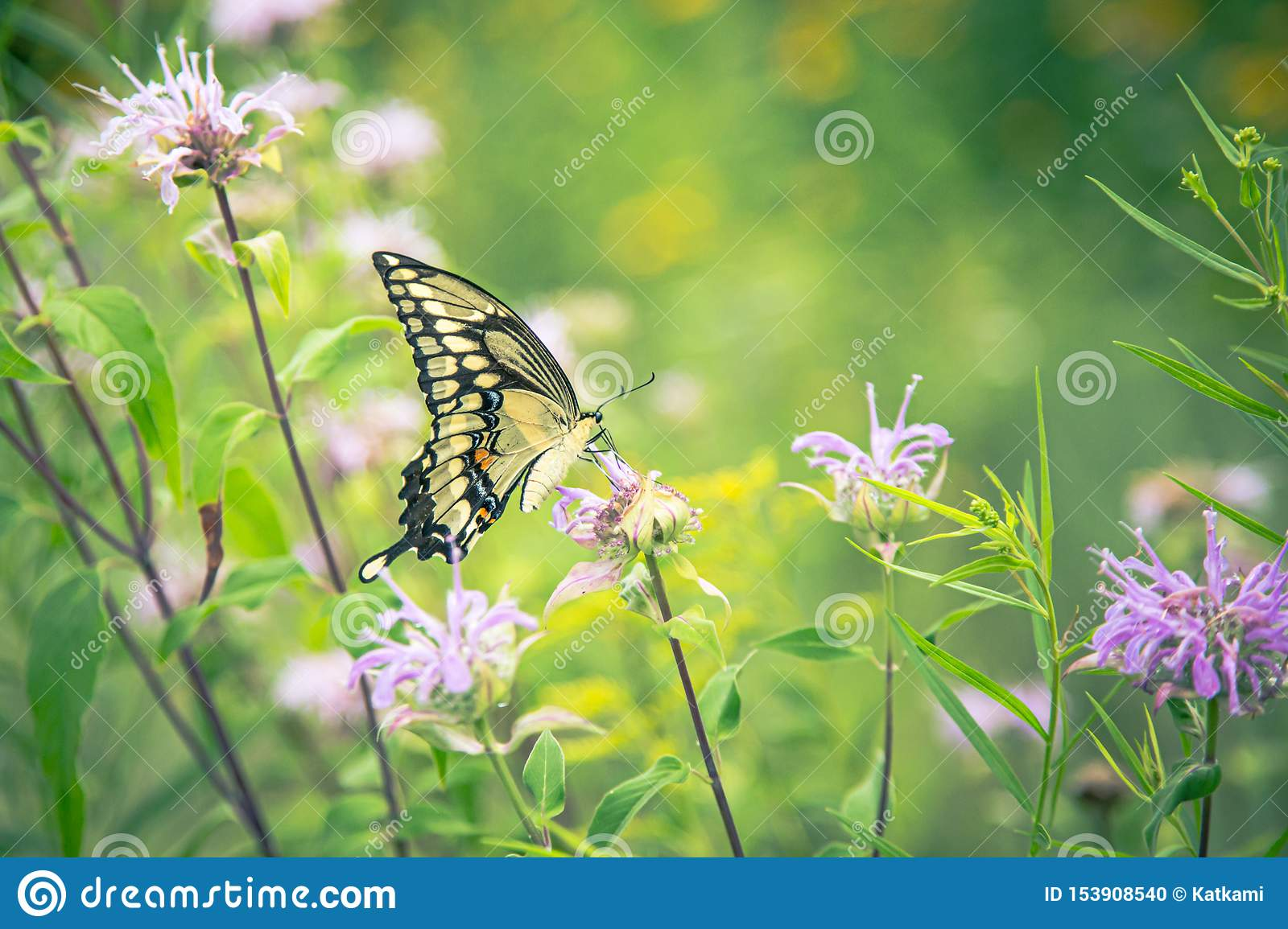 Yellow monarch butterfly on pink clover flower