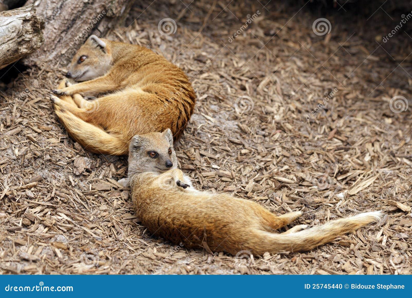 Yellow mongoose sleeping
