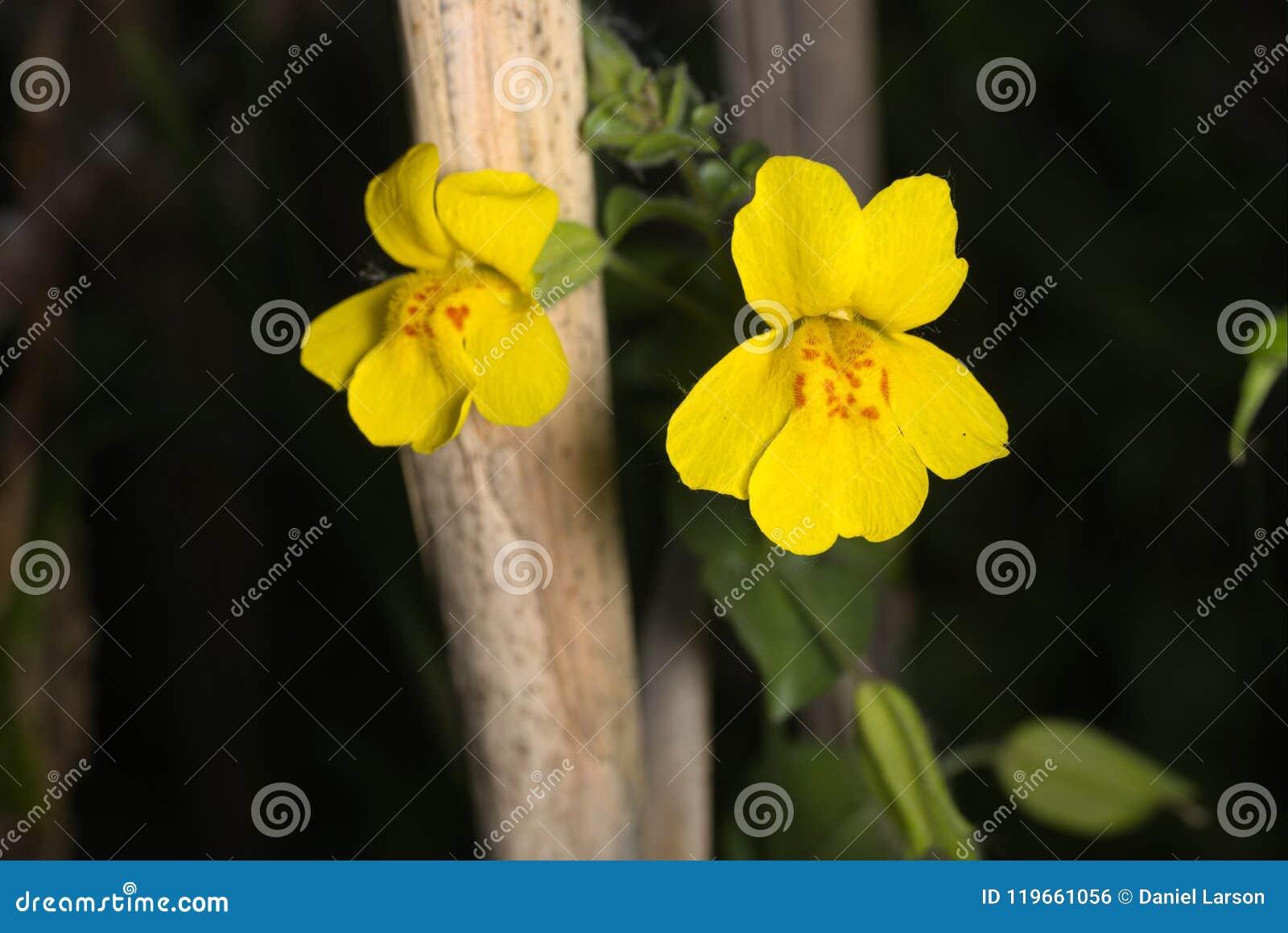 Yellow Monkey Flower Stock Photo Image Of Flower Limulus 119661056