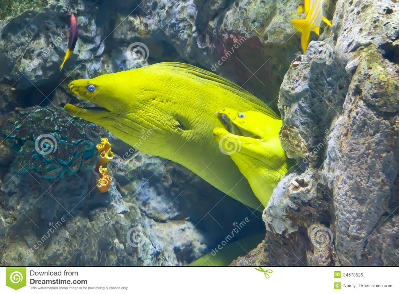 Yellow Moray Fish In Coral Reef Royalty Free Stock Image - Image: 34678526