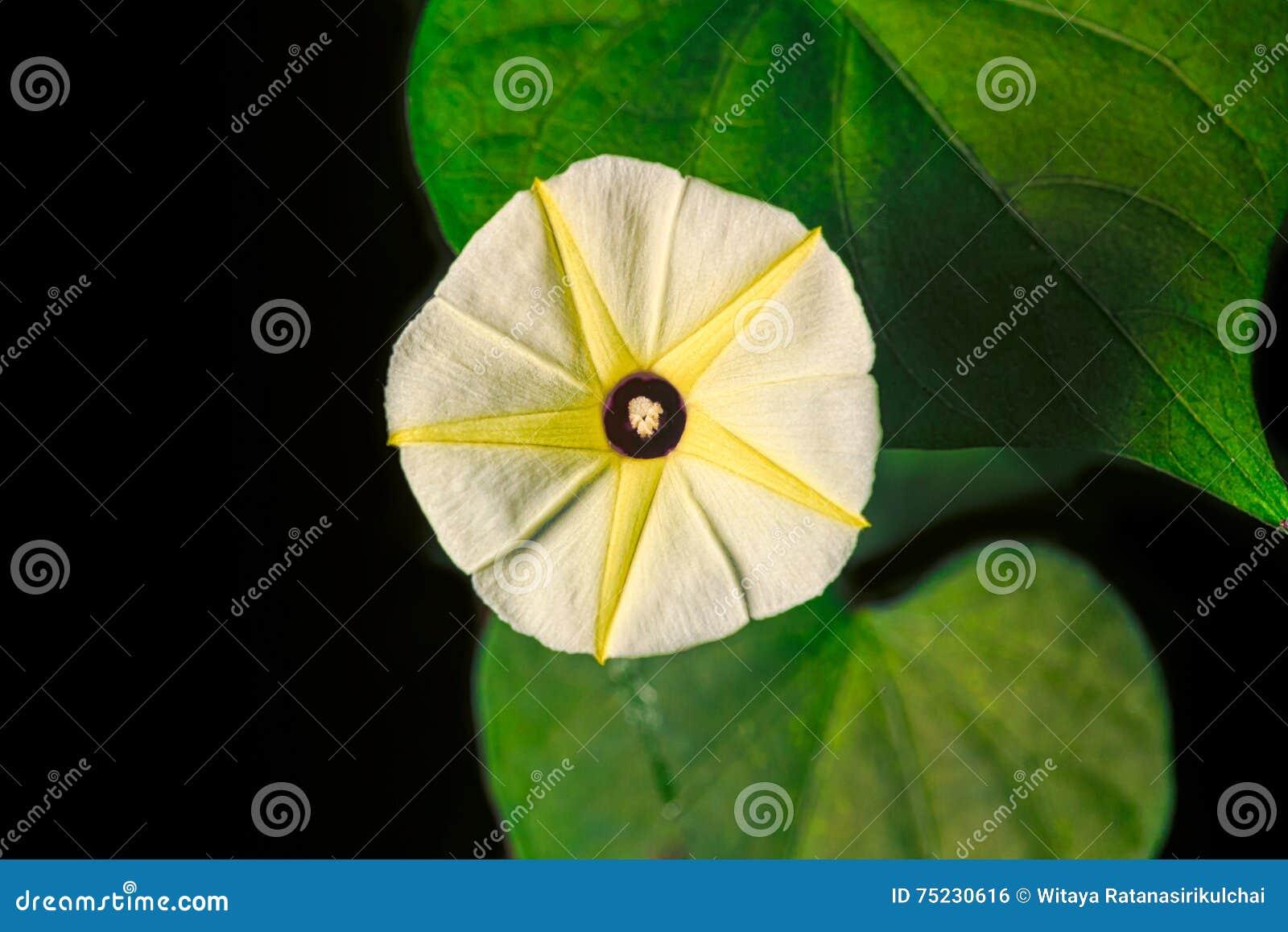 Yellow morning glory flower stock photo image of yellow yellow morning glory flower mightylinksfo