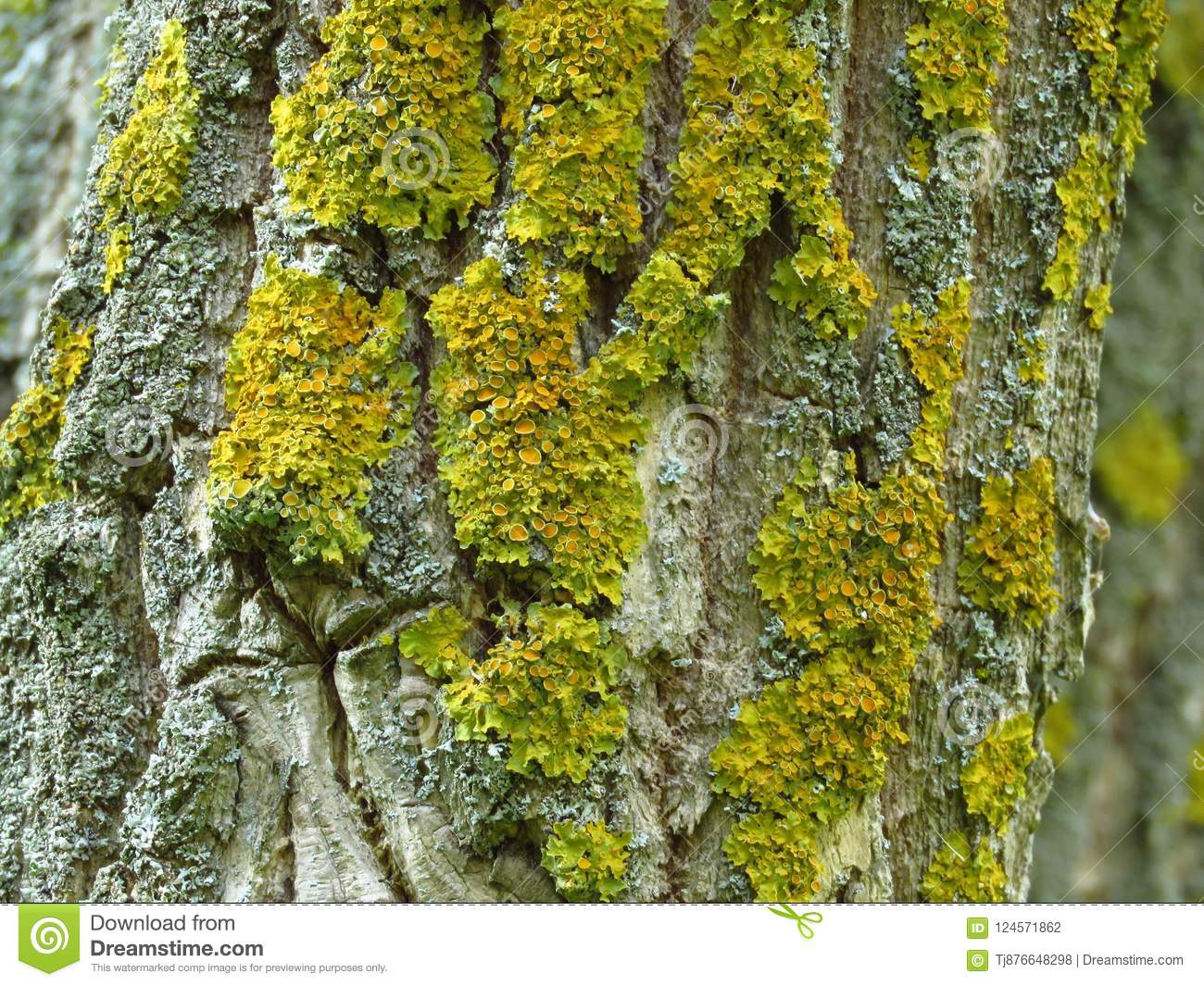 Yellow Moss On The Bark Of A Tree Trunk In Autumn Stock Photo