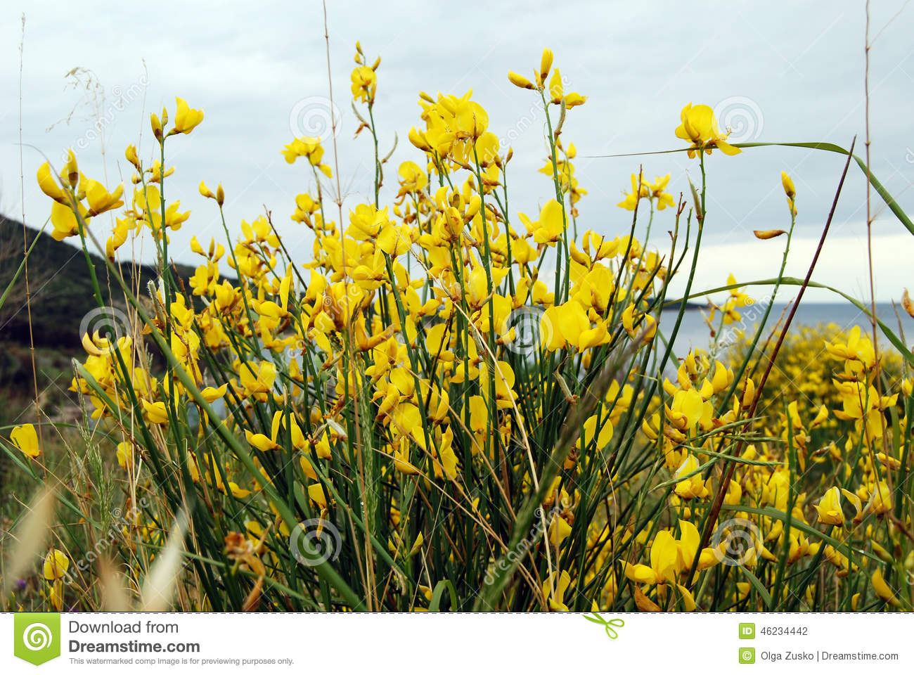 Yellow Mountain Flowers Stock Photo Image Of Flora Bright 46234442