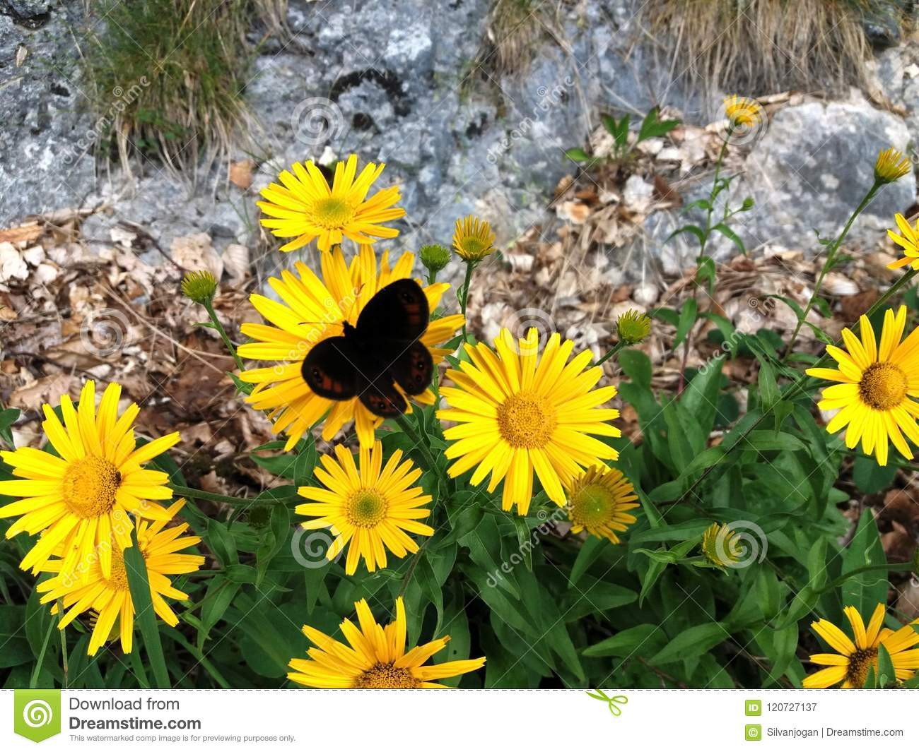 Yellow Mountains Flowers Attract Butterfly Stock Image Image Of