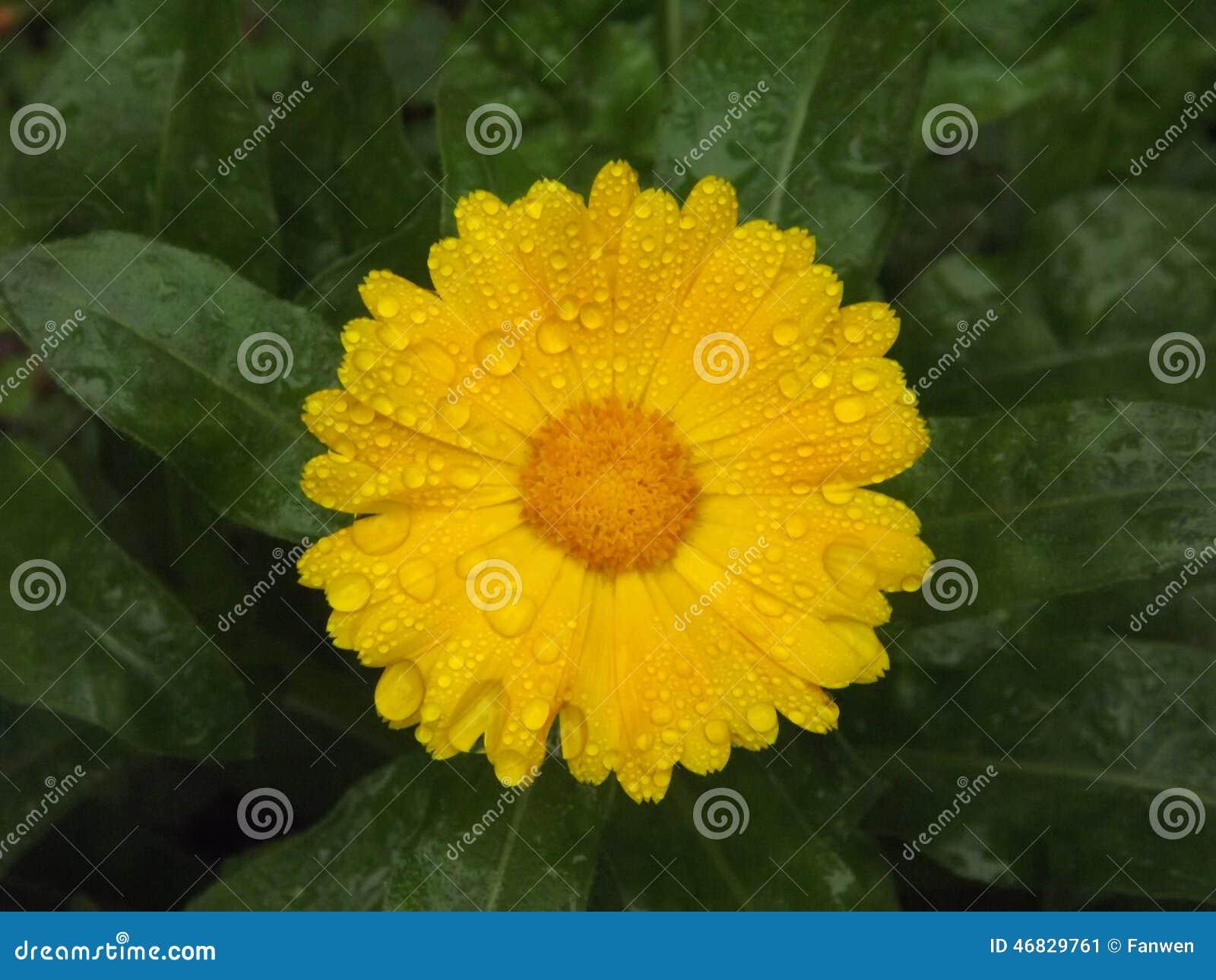 Yellow Mum Flower And Chrysanthemum Flower Stock Image Image Of