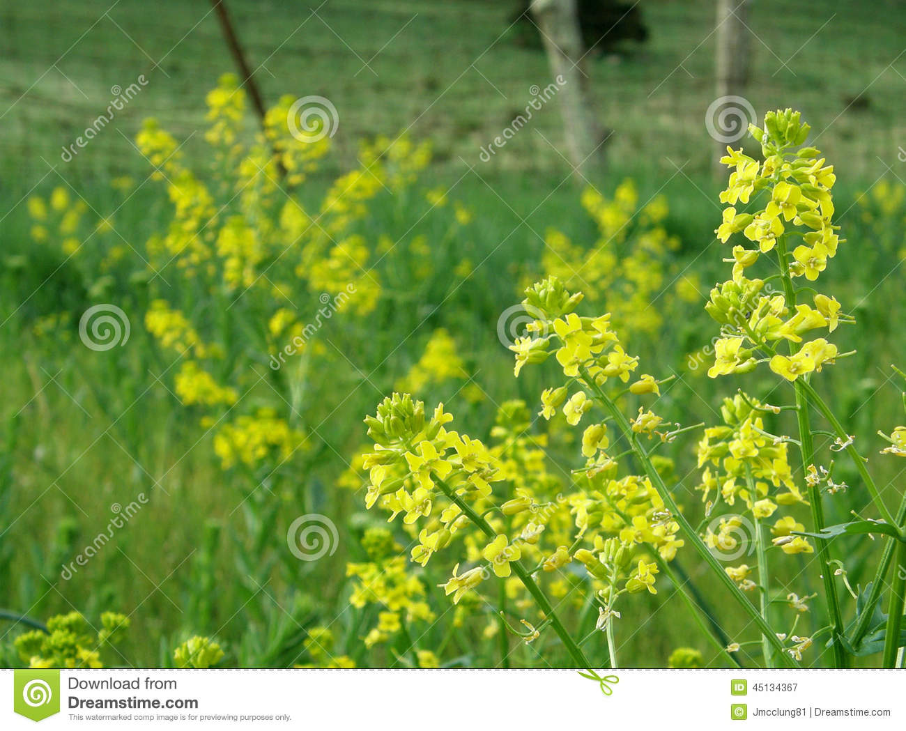 yellow mustard plant flowers stock image image 45134367 barbed wire vector clip barbed wire vector
