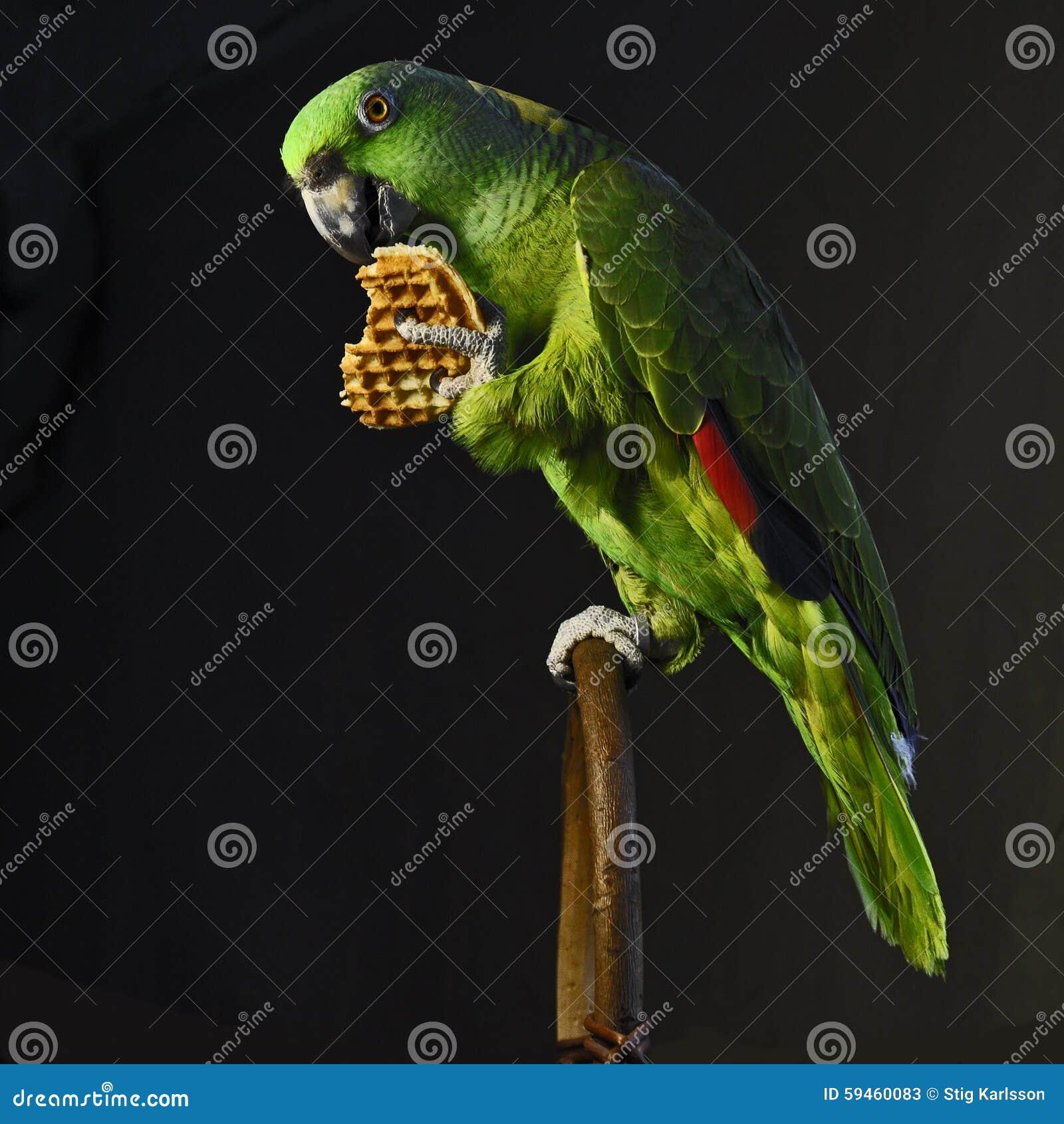 Yellow-naped amazon parrot eat waffle