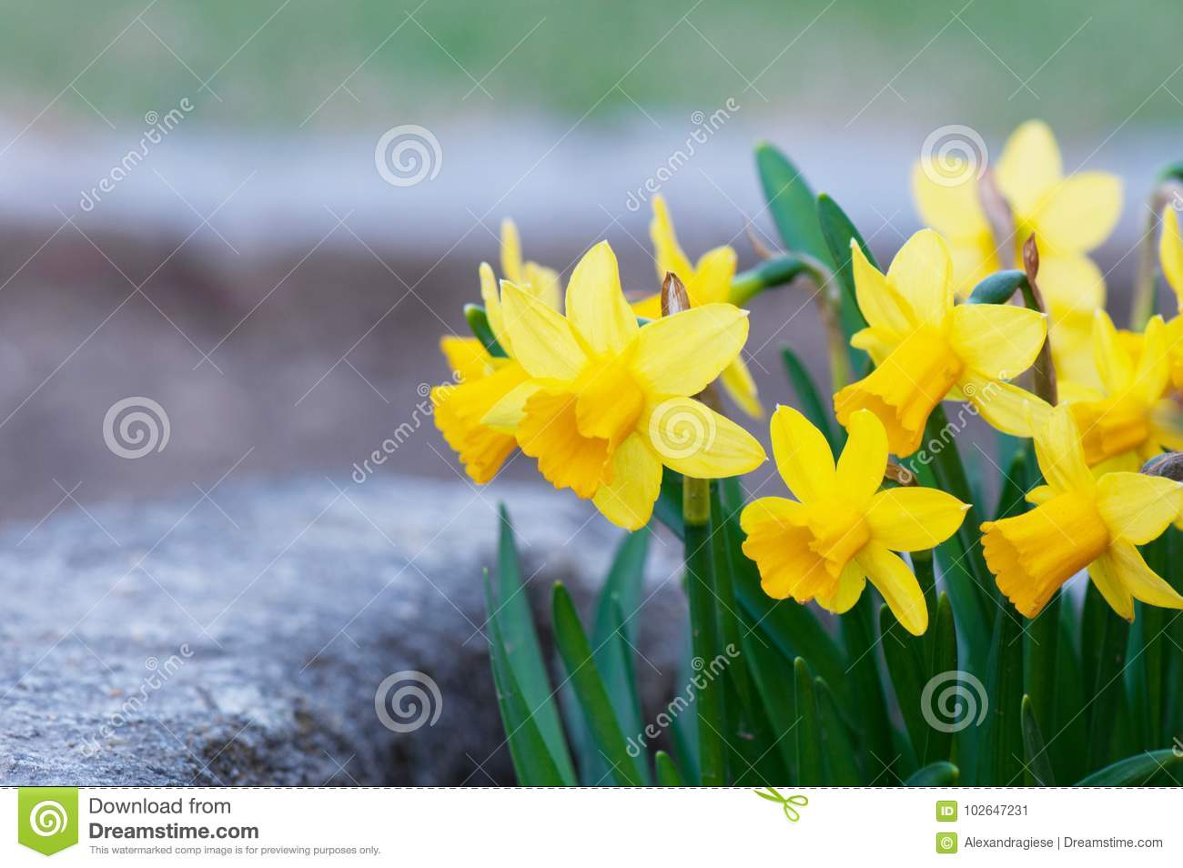 Yellow narcissus flowerbed