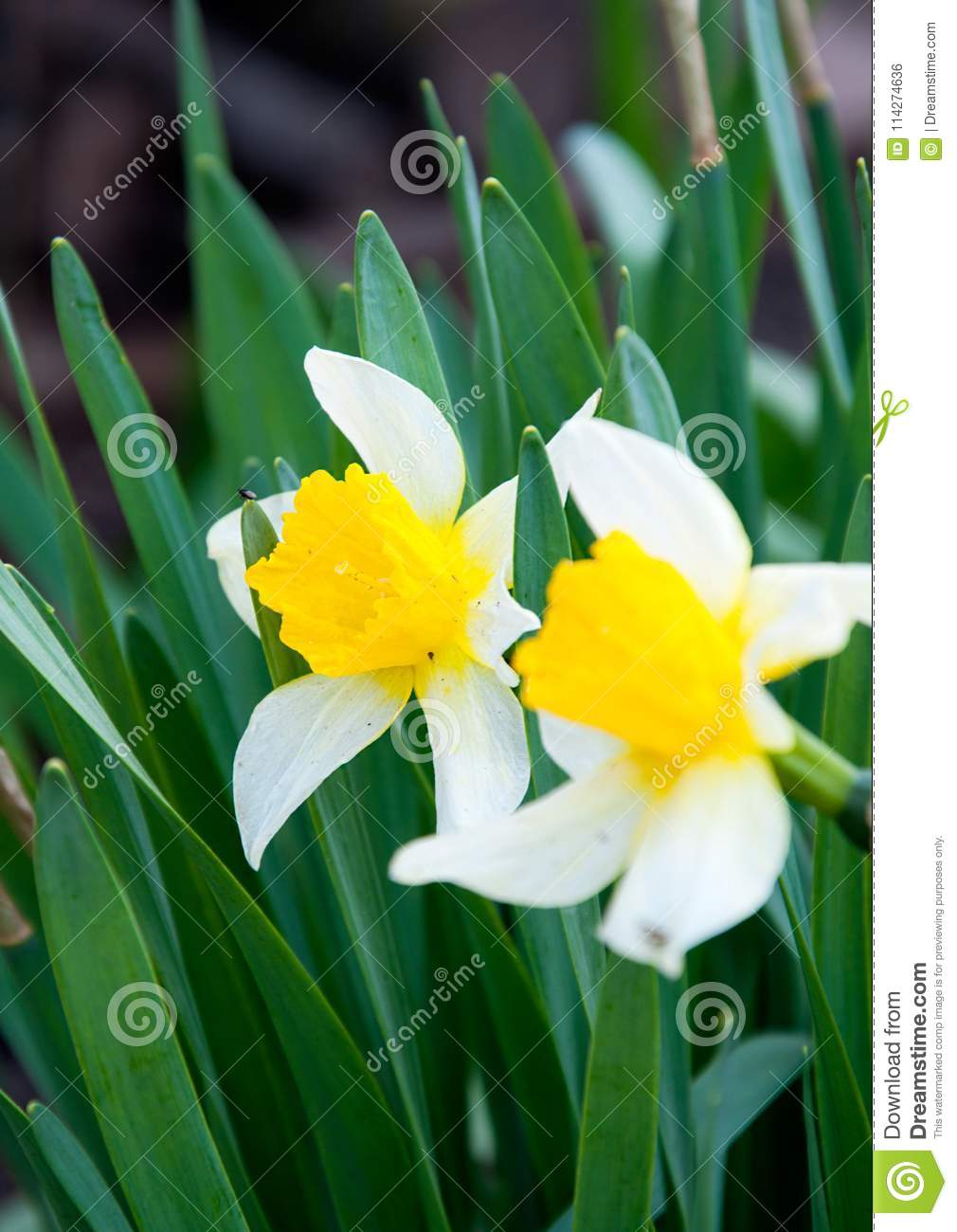 Yellow Narcissus In The Garden Stock Photo Image Of Garden Stem