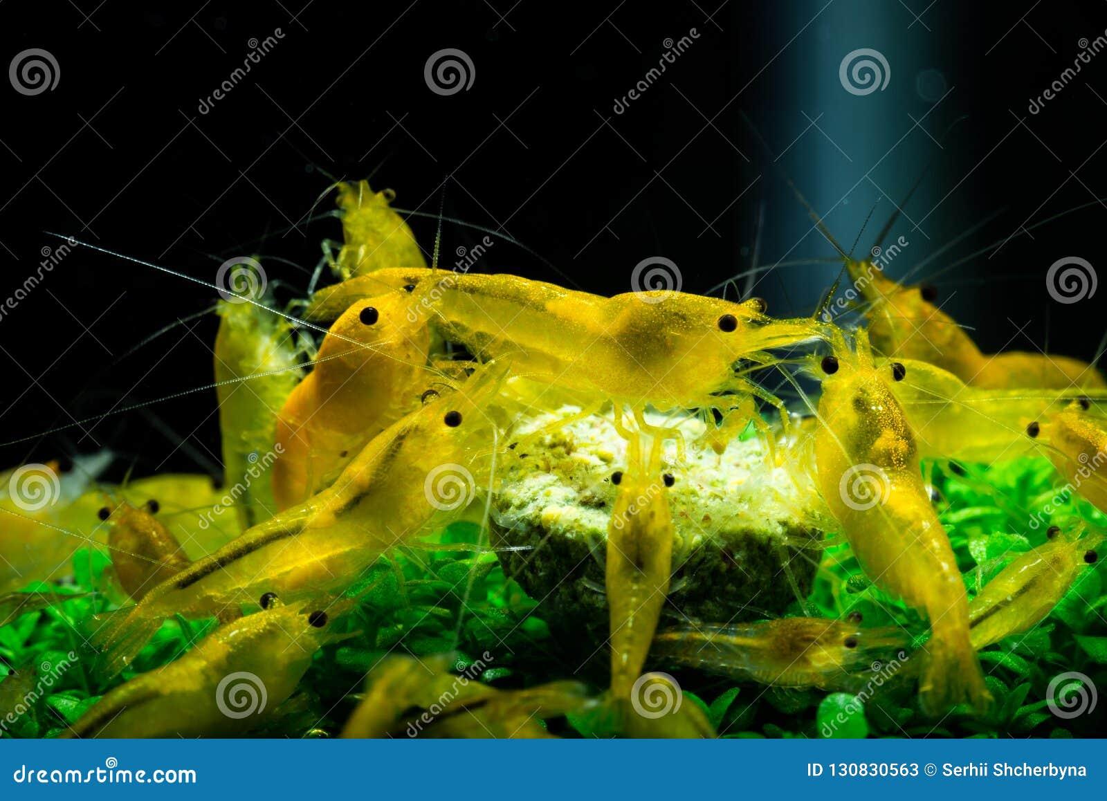 Yellow Neocaridina Shrimp Water Pet Aquarium Home Stock