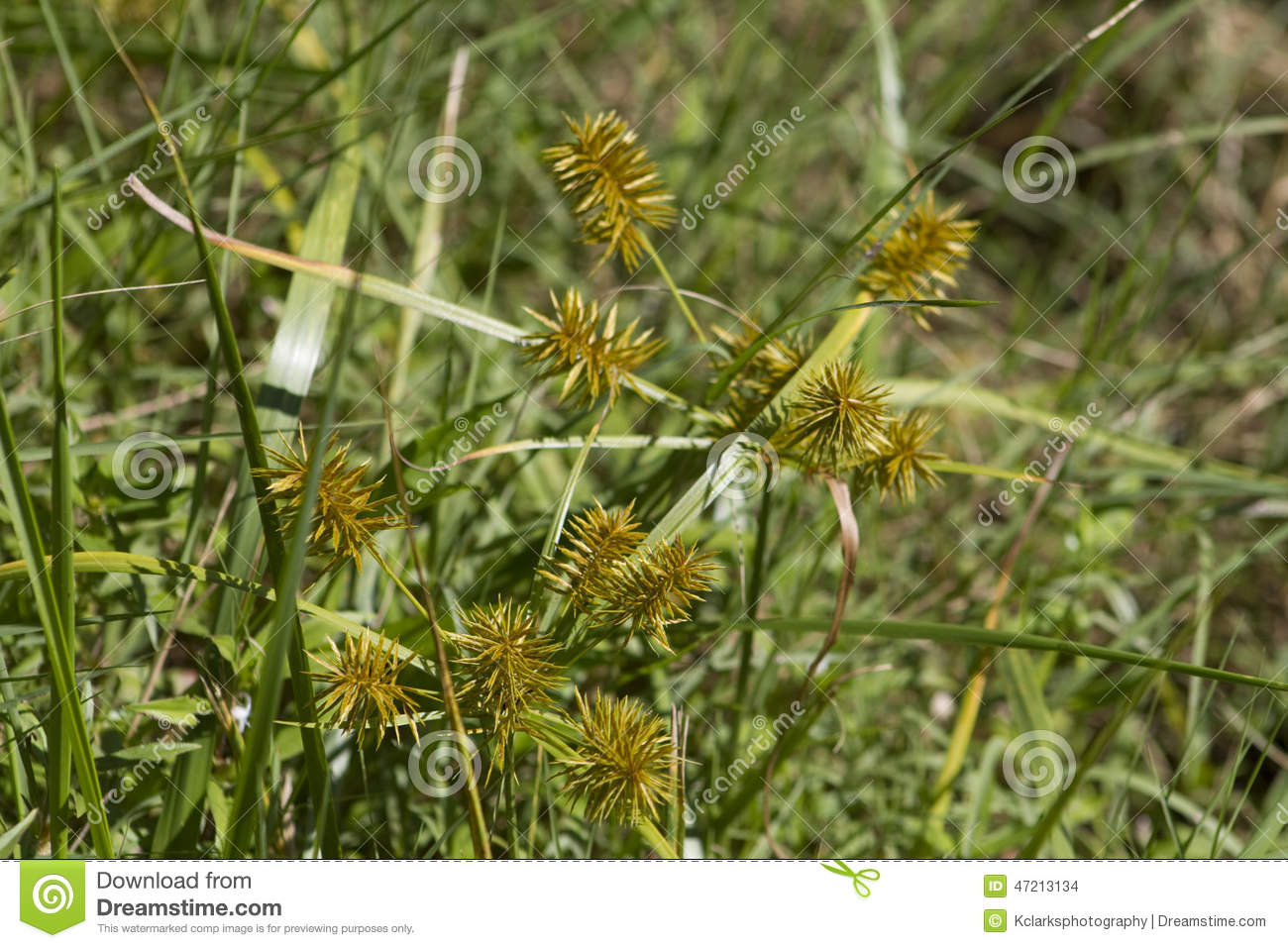 How to get rid of nut grass - Yellow Nutsedge Nutgrass Cyperus Esculentus Stock Photo Image