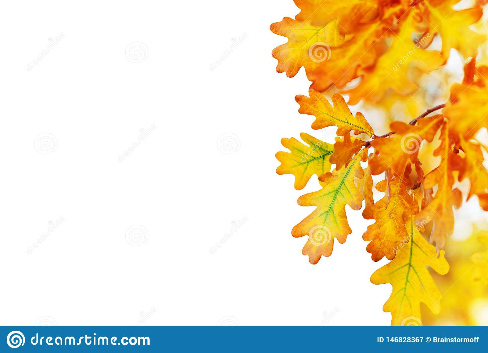 Yellow oak leaves on white background isolated close up, autumn golden foliage decorative border, fall oak tree branch frame