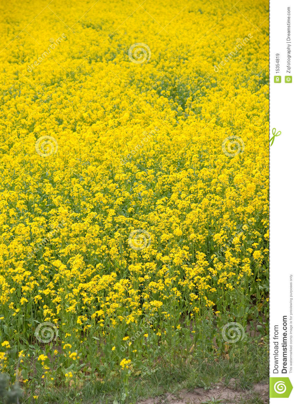 yellow oil flower royalty free stock images