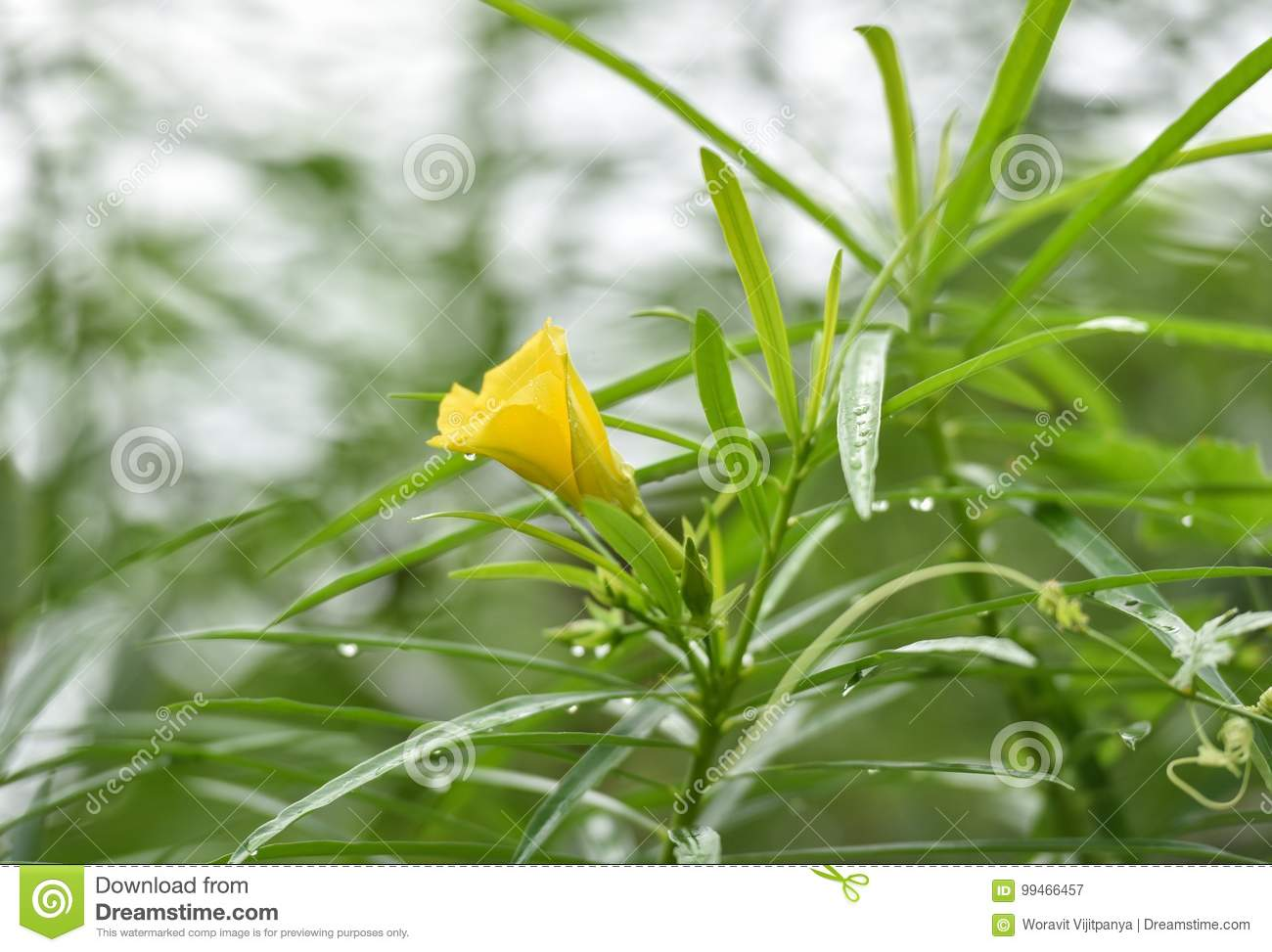 Yellow Oleander Lucky Nut Stock Image Image Of Bloom 99466457