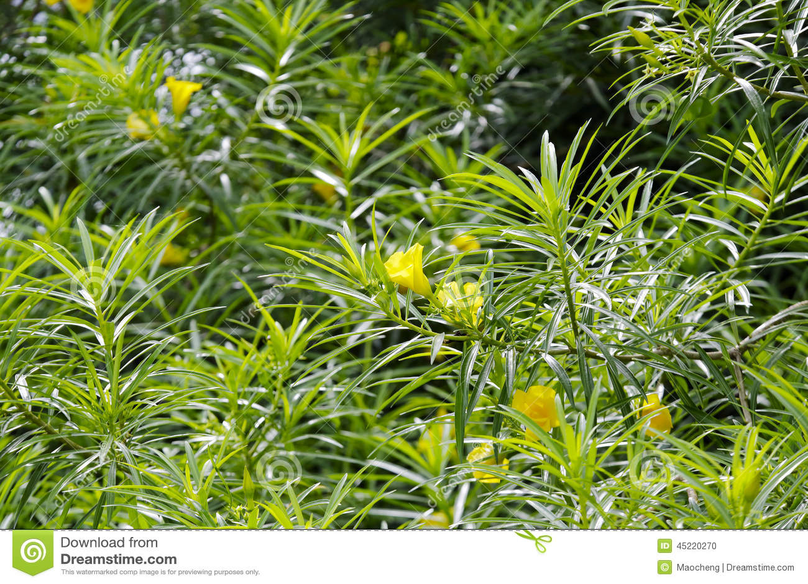 Yellow Oleander Stock Photo Image Of Drug Oleander 45220270