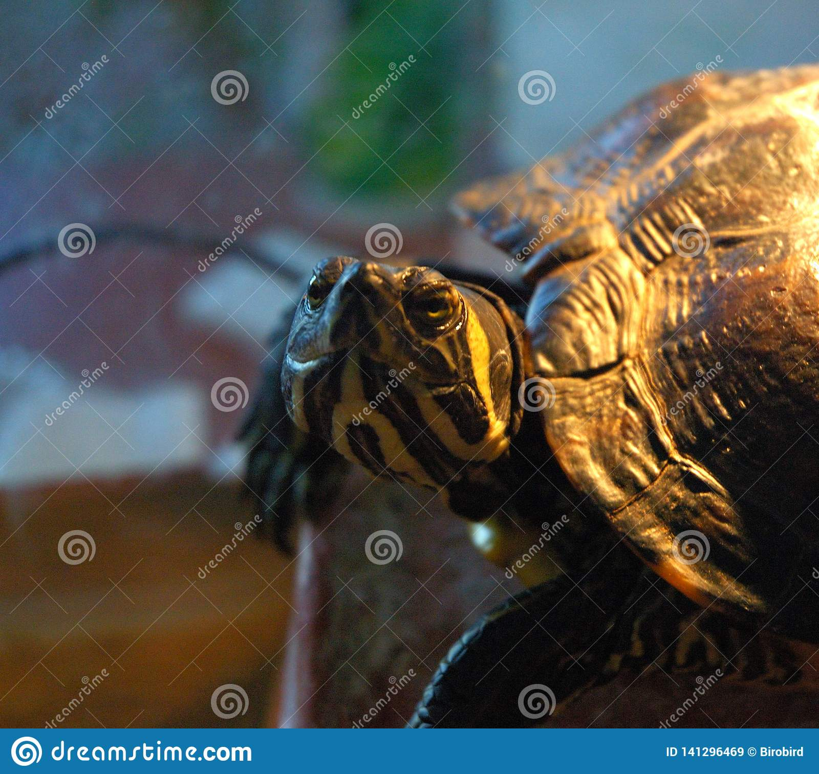 Yellow-olive turtle details picture.