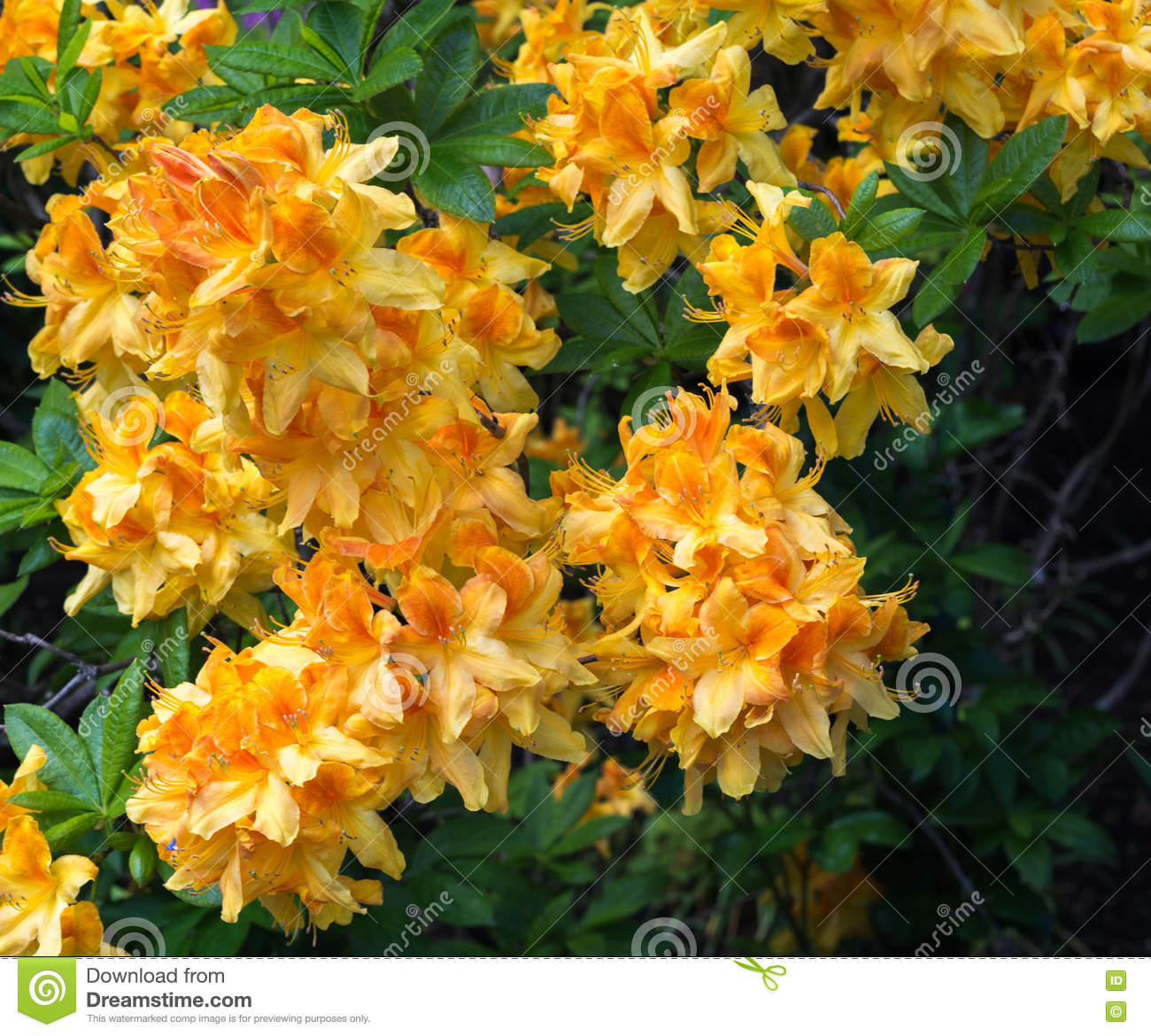Yellow And Orange Blooming Rhododendron Stock Photo Image Of