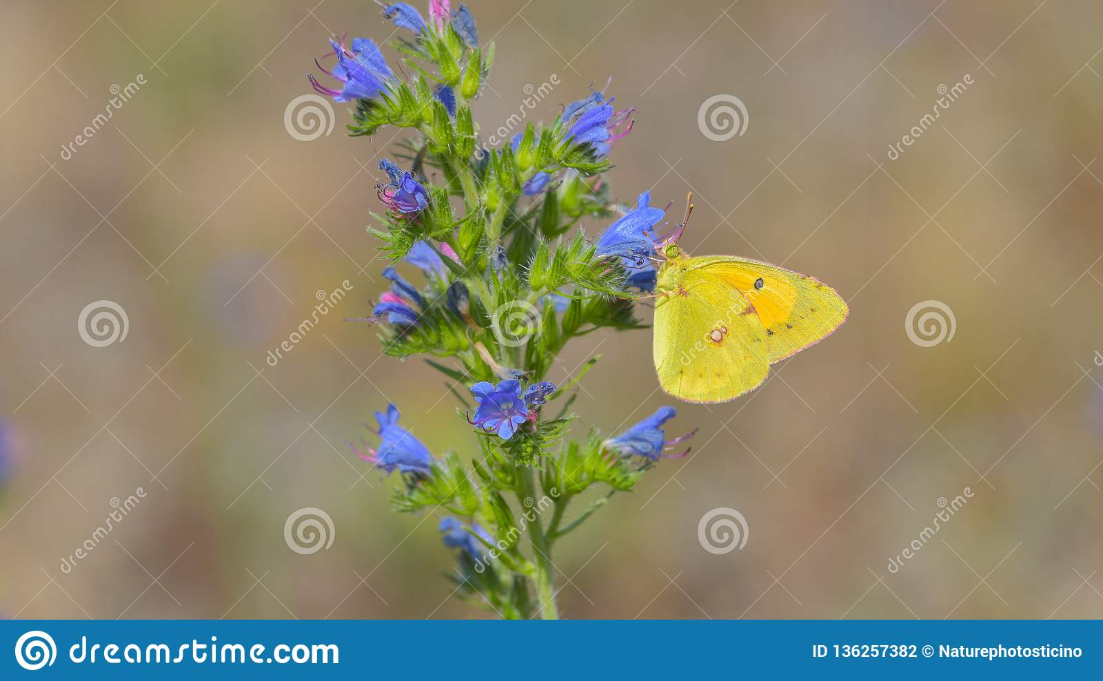 Yellow and orange butterfly laid on a blue and pink flower