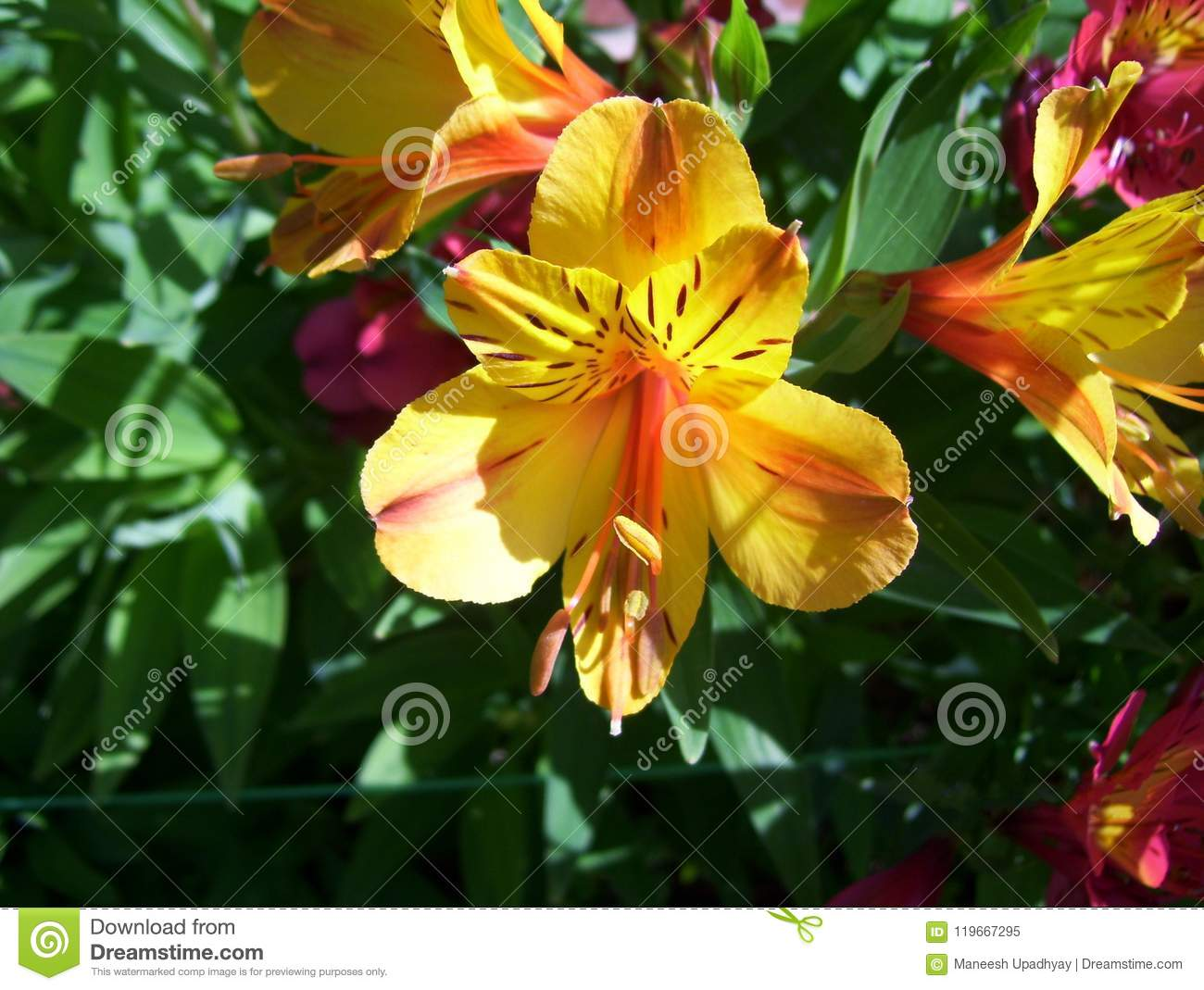 Yellow And Orange Color Peruvian Lily Flower Stock Image Image Of
