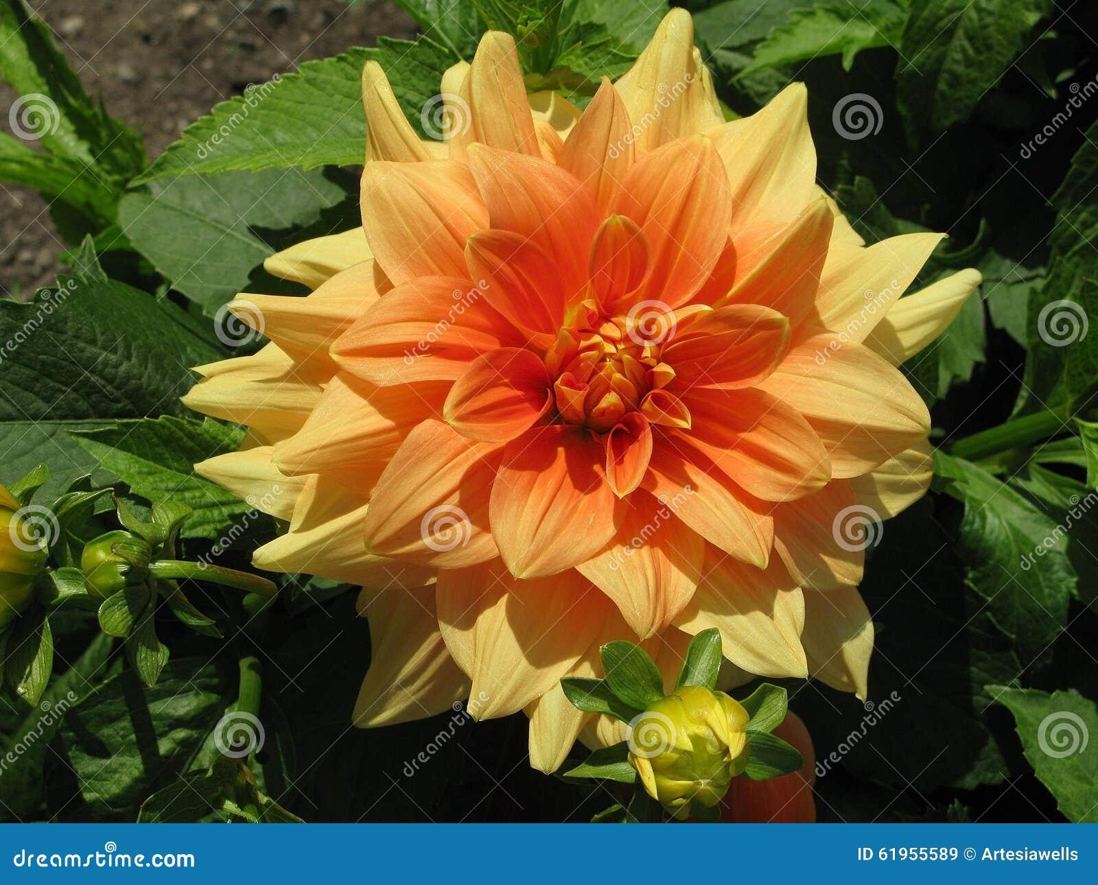 Yellow Orange Dahlia Flower Stock Image Image Of Blossoming