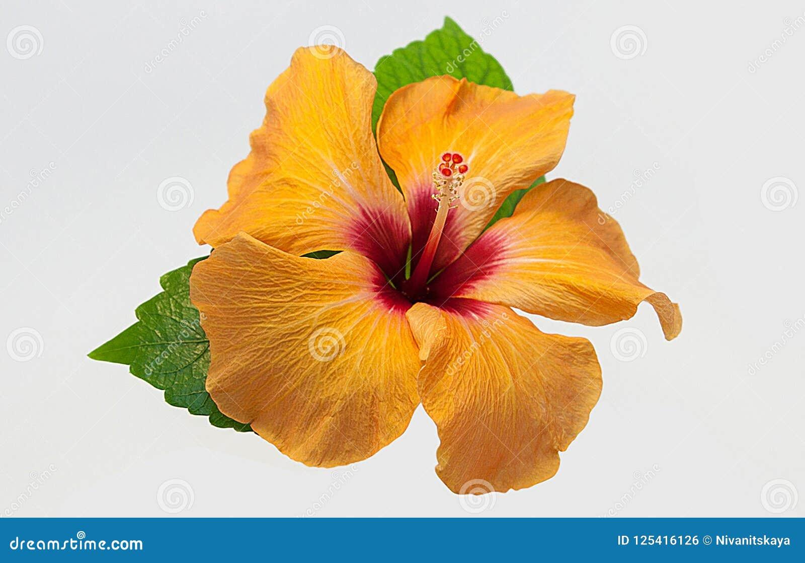 Yellow Orange Hibiscus Flower Isolated On White Background Orange