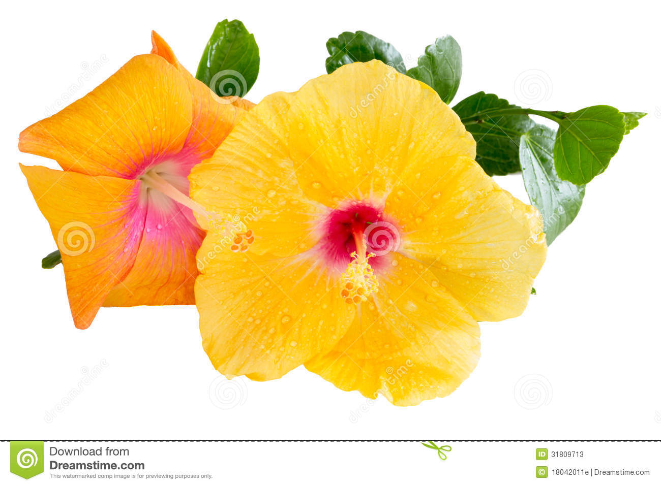 Yellow And Orange Hibiscus Tropical Flowers On White