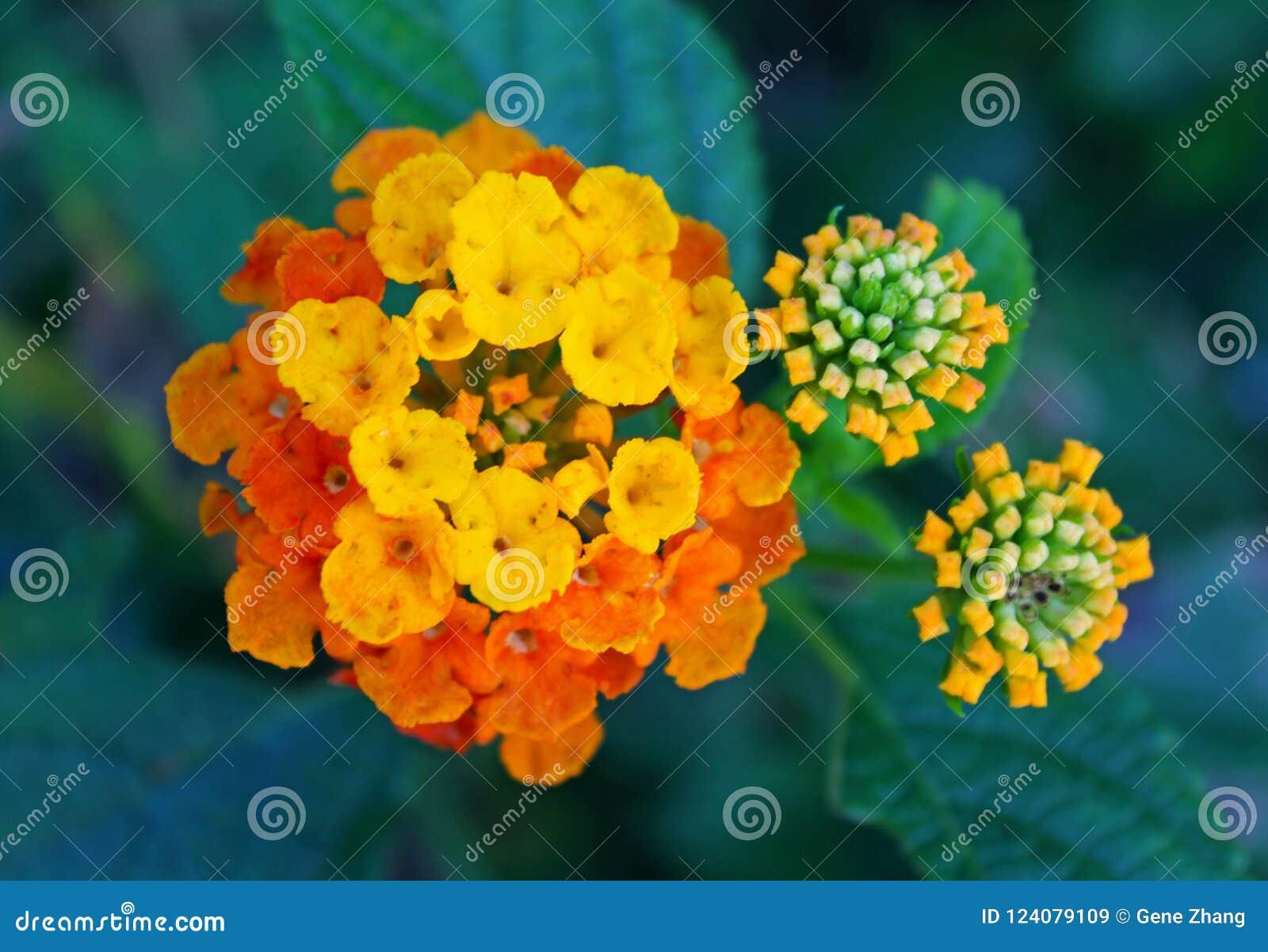 Yellow And Orange Lantana Stock Image Image Of Color 124079109