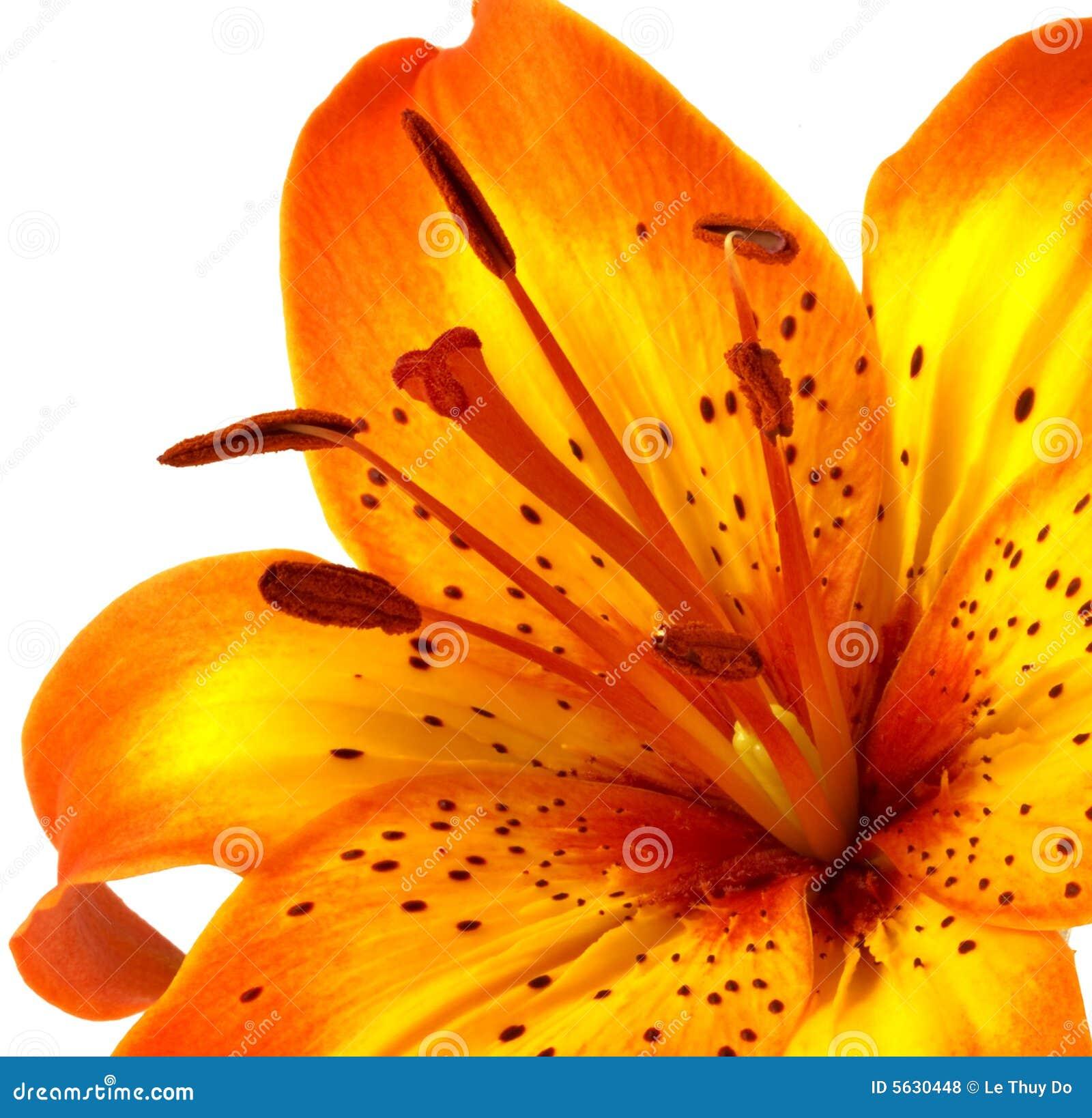 3c9ab7fcbdc25 Yellow Orange Lily stock photo. Image of image, macro - 5630448
