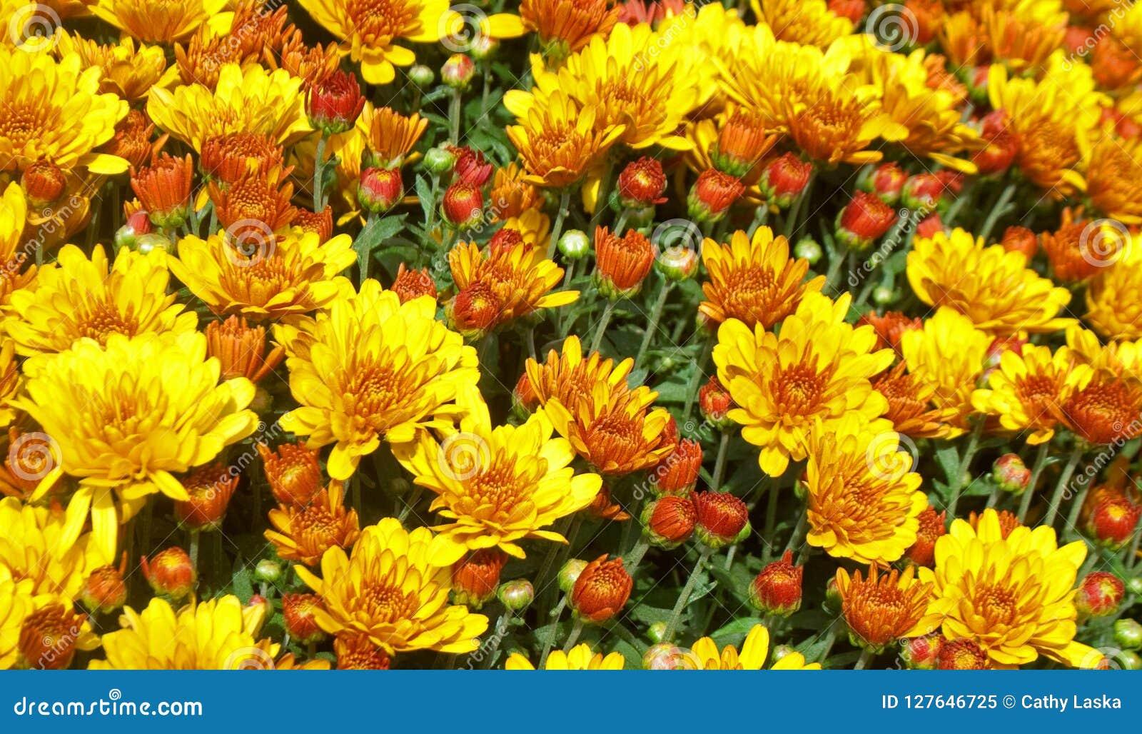 Yellow And Orange Mum Flower Garden Stock Image Image Of Beautiful Colorful 127646725